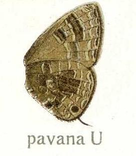 <i>Nacaduba pavana</i>