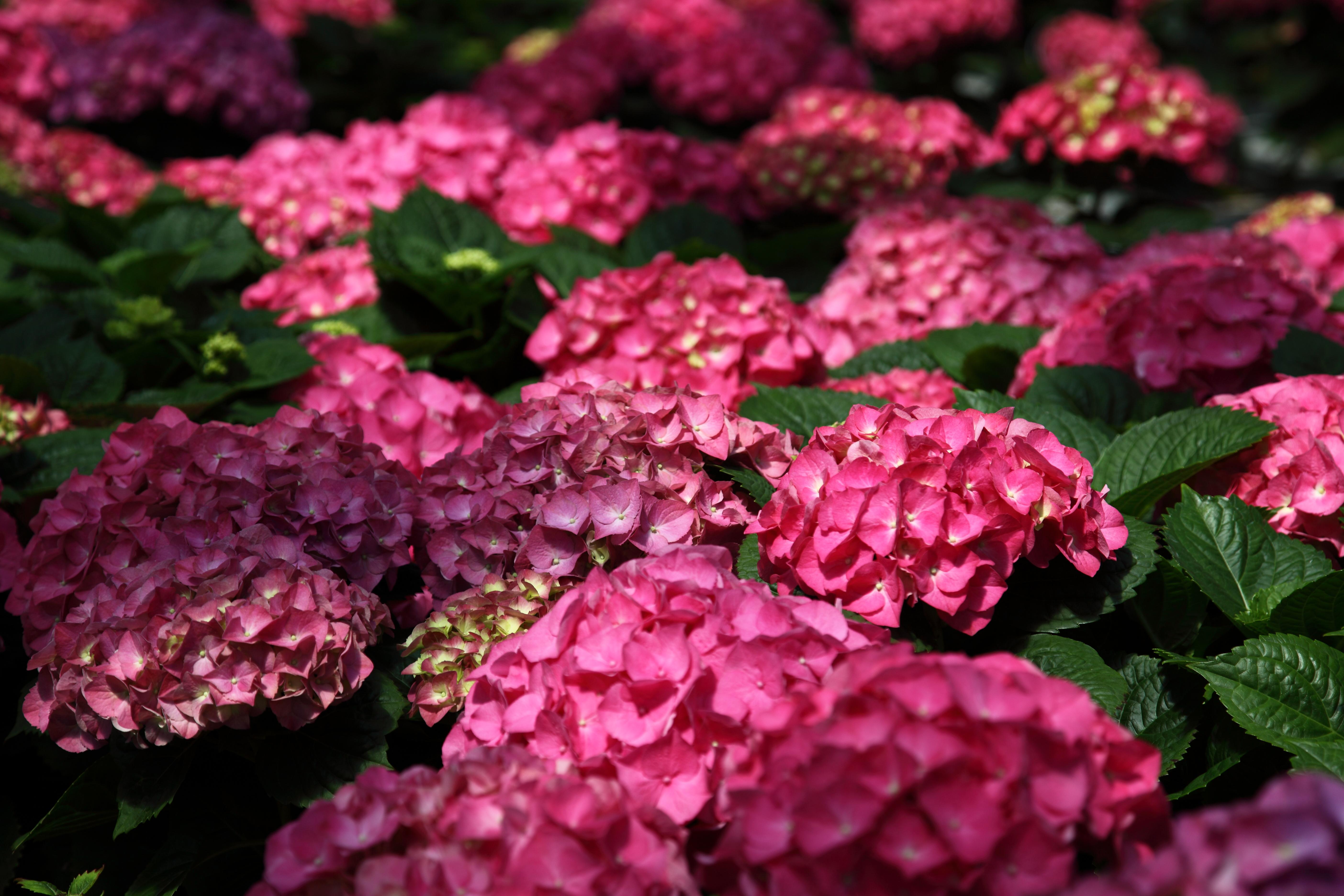 English rose garden wallpaper - File Pink Hydrangea West Virginia Forestwander Jpg Wikimedia