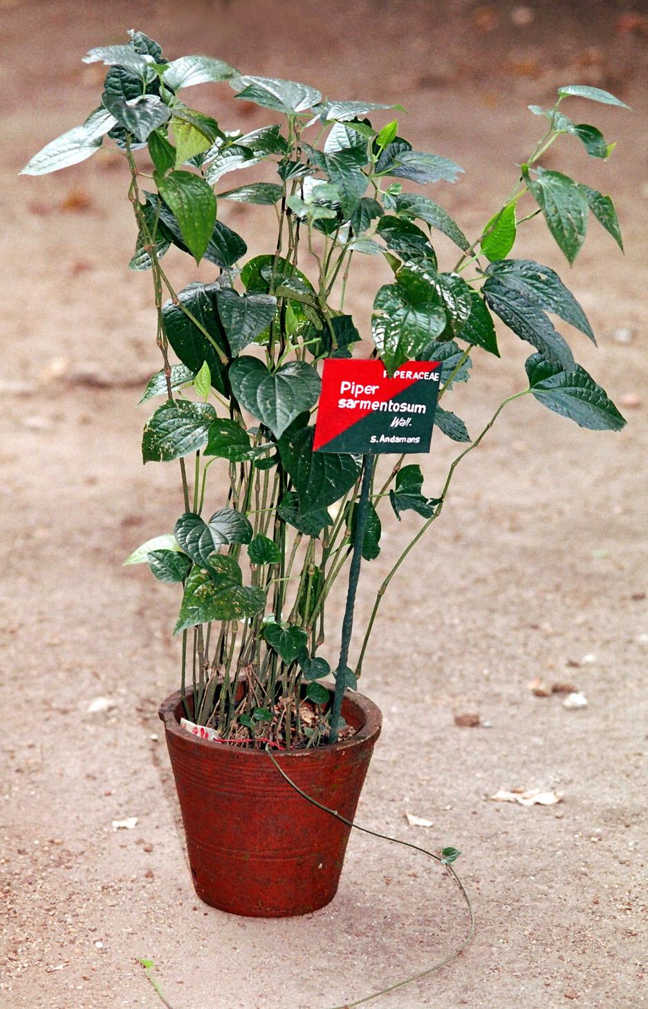 "piper Sarmentosum //Culinary Spice Plant Lá Lốt. 30 Cuttings 6/"" Piper Lolot"