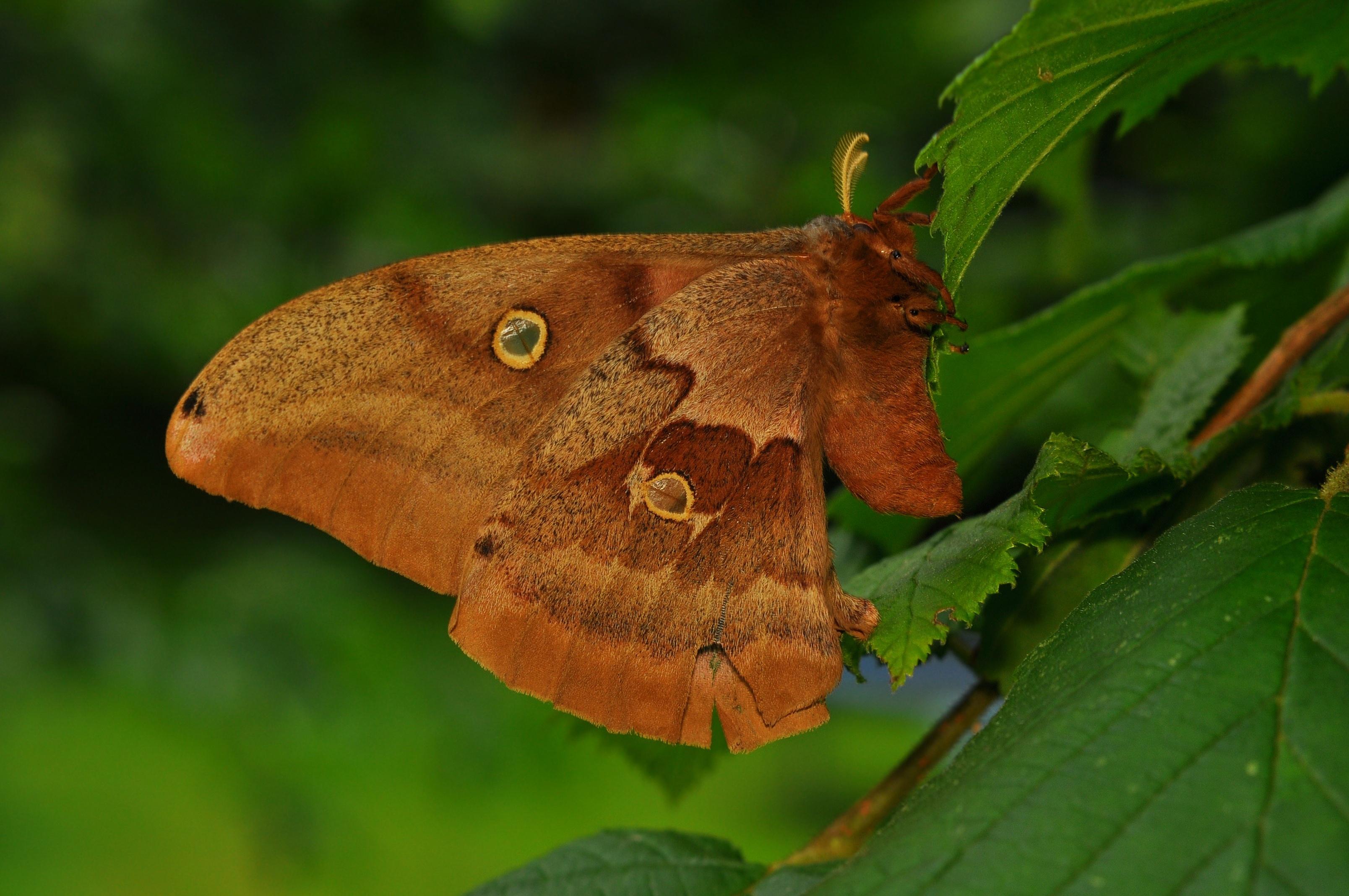 File:Polyphemus Moth (Antheraea polyphemus) -3.JPG ...