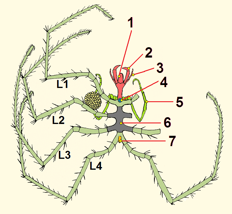 sea spider diagram deep sea vents diagram file:pycnogonida nymphon s sars tagged.png - wikimedia commons