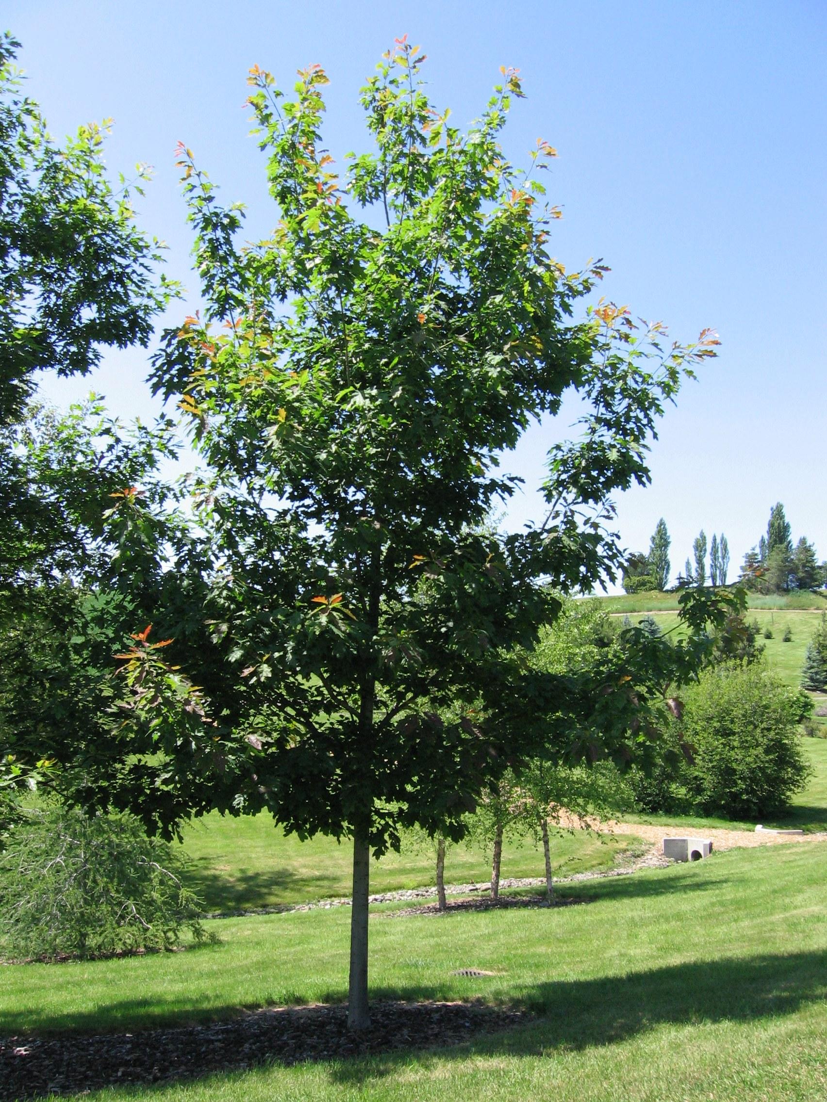 Description Quercus rubra 20060624 jpgQuercus Rubra