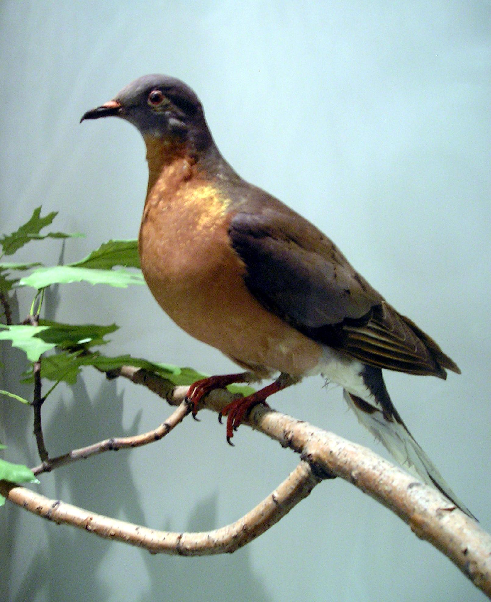Paloma migratoria americana (Ectopistes migratorius)