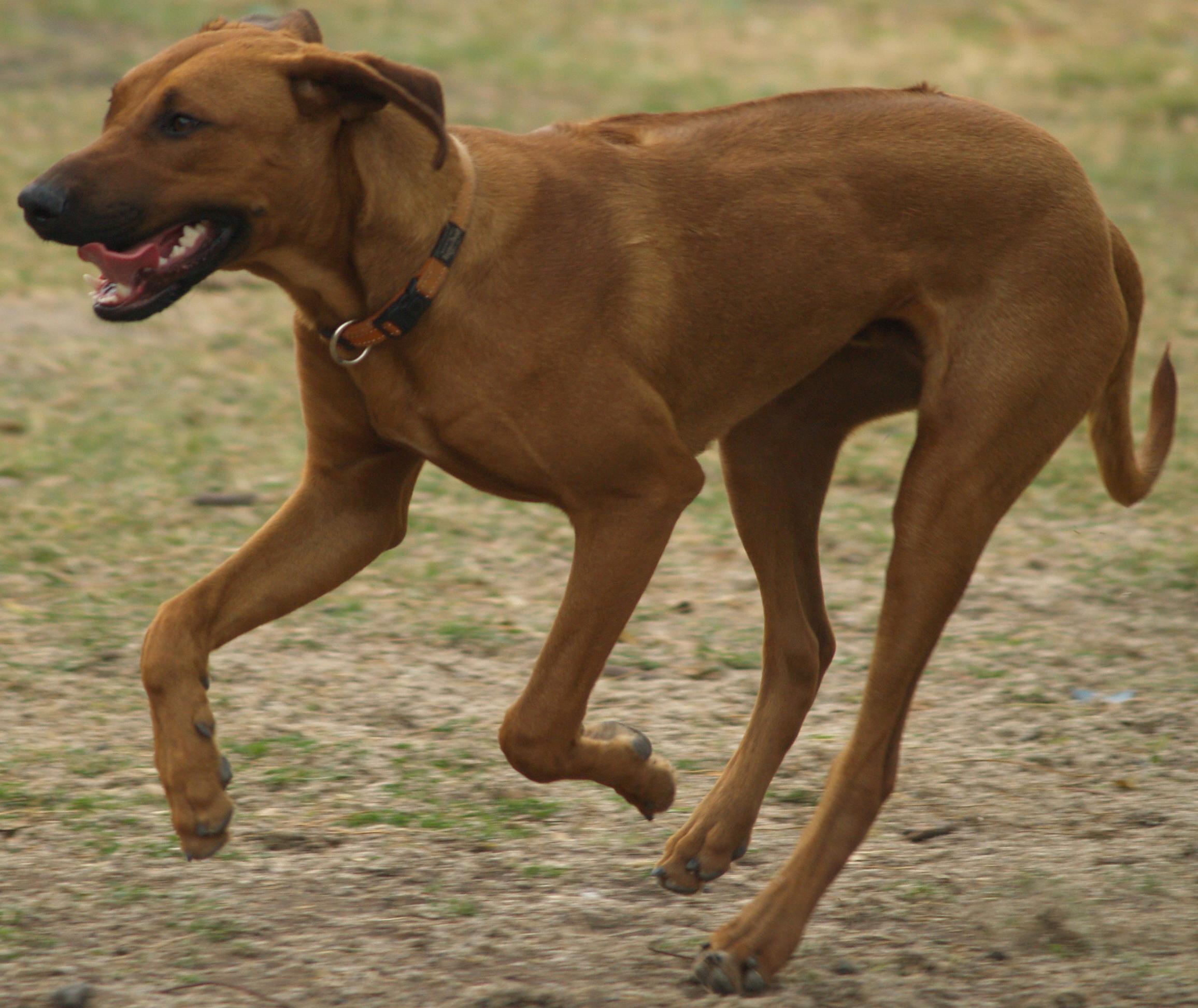 Dog Breed African Lion Hound