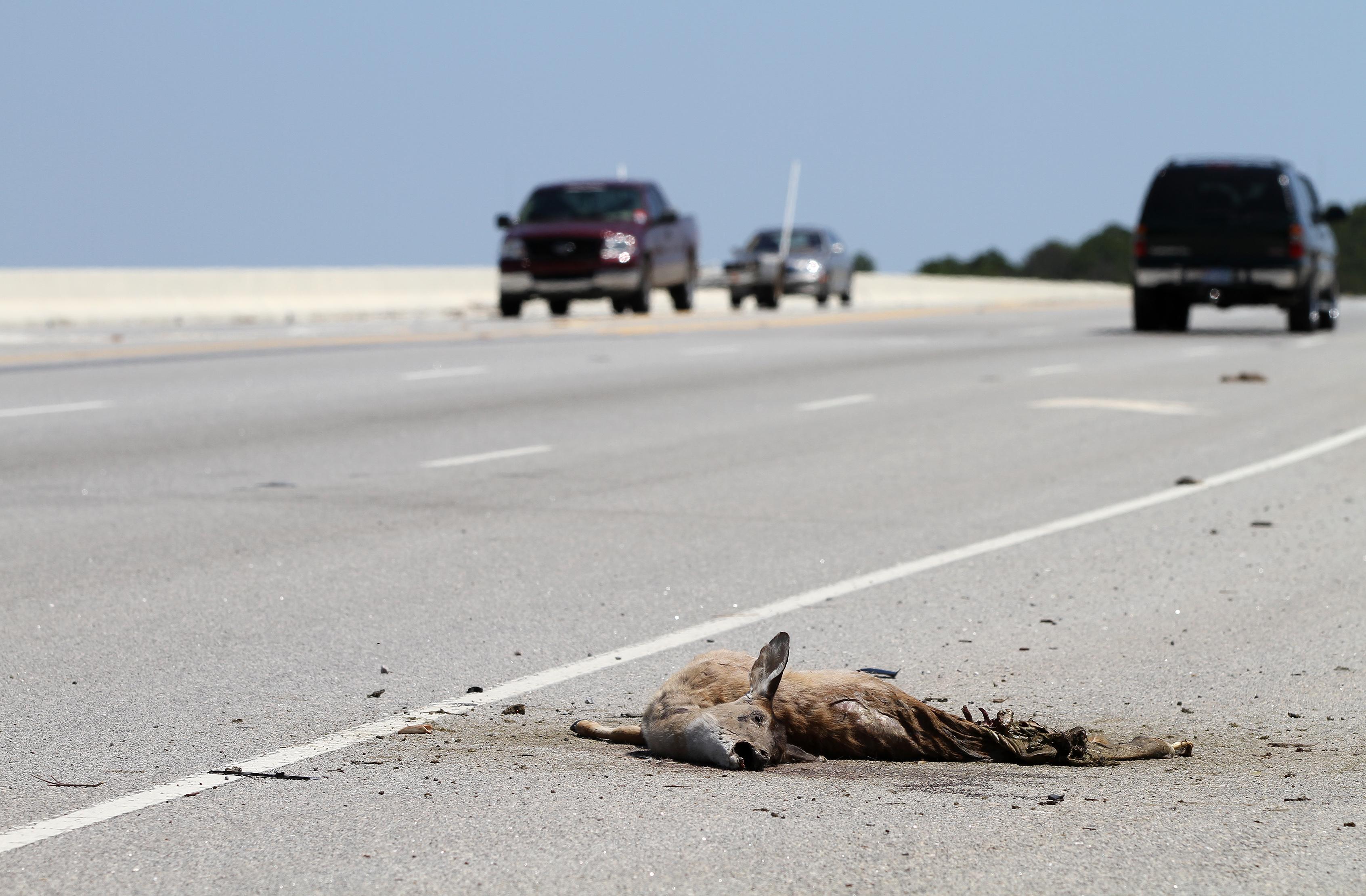 Cat Almost Gets Run Over Highway