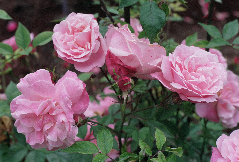 file rosa blush jpg wikimedia commons