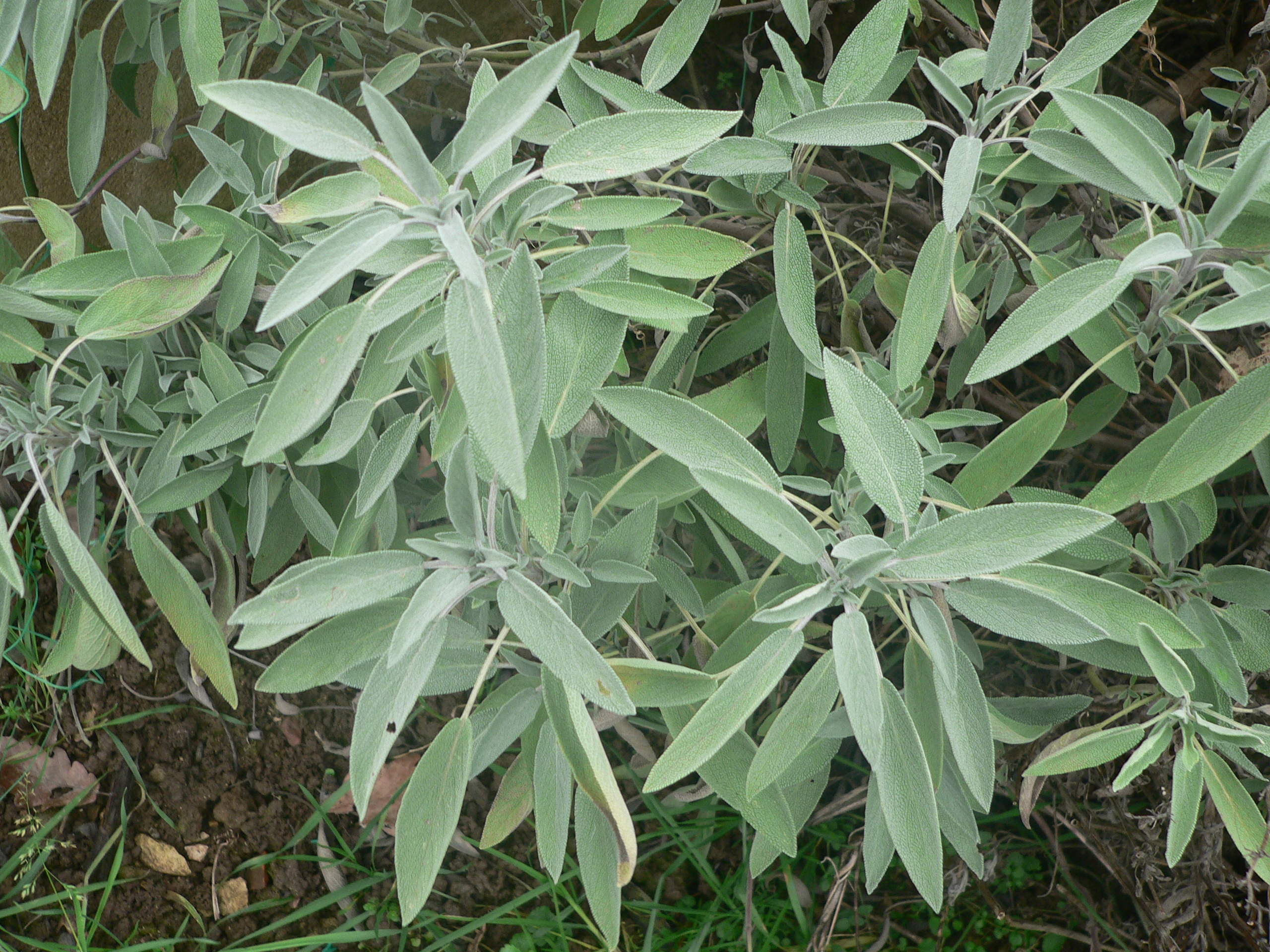 File salvia officinalis for Achat plante