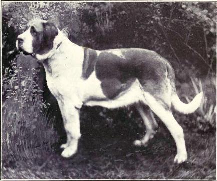 St Bernard Dog Shows Uk