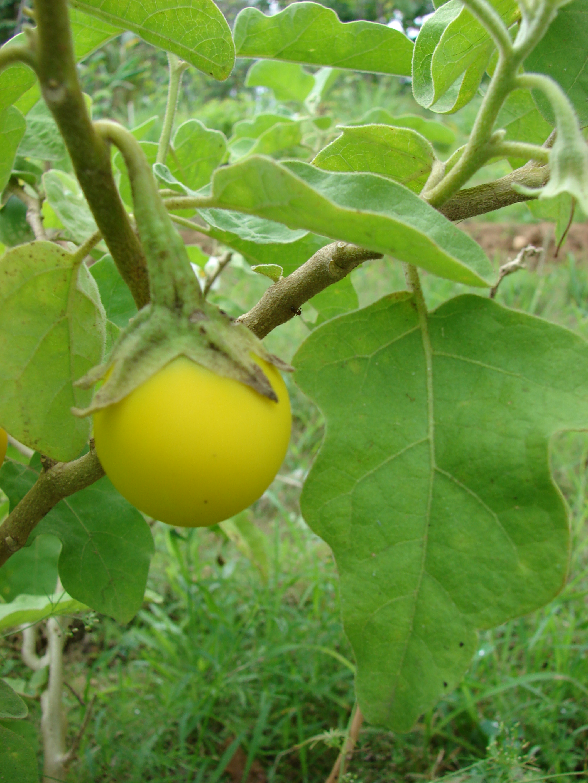 Starr 080610-8271 Solanum melongena.jpg