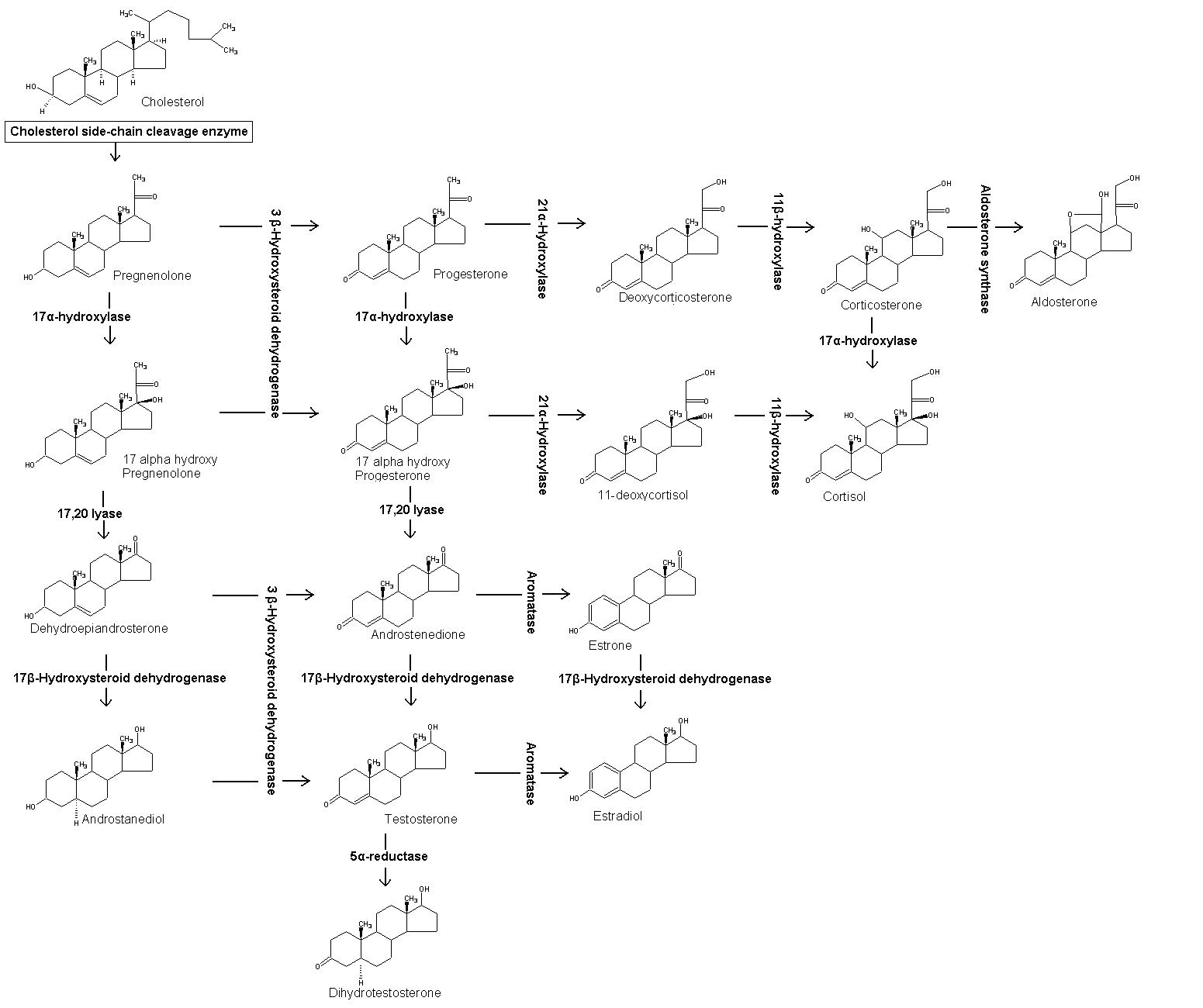 File:Steroidogenesis November 2007.png - Wikimedia Commons
