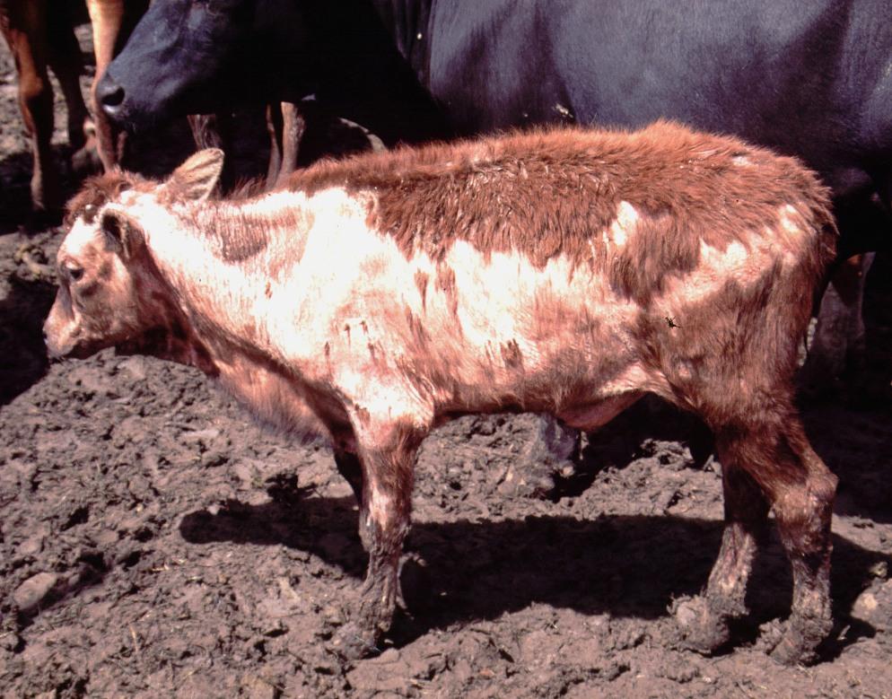 Q Disease Cattle Bovine diseases
