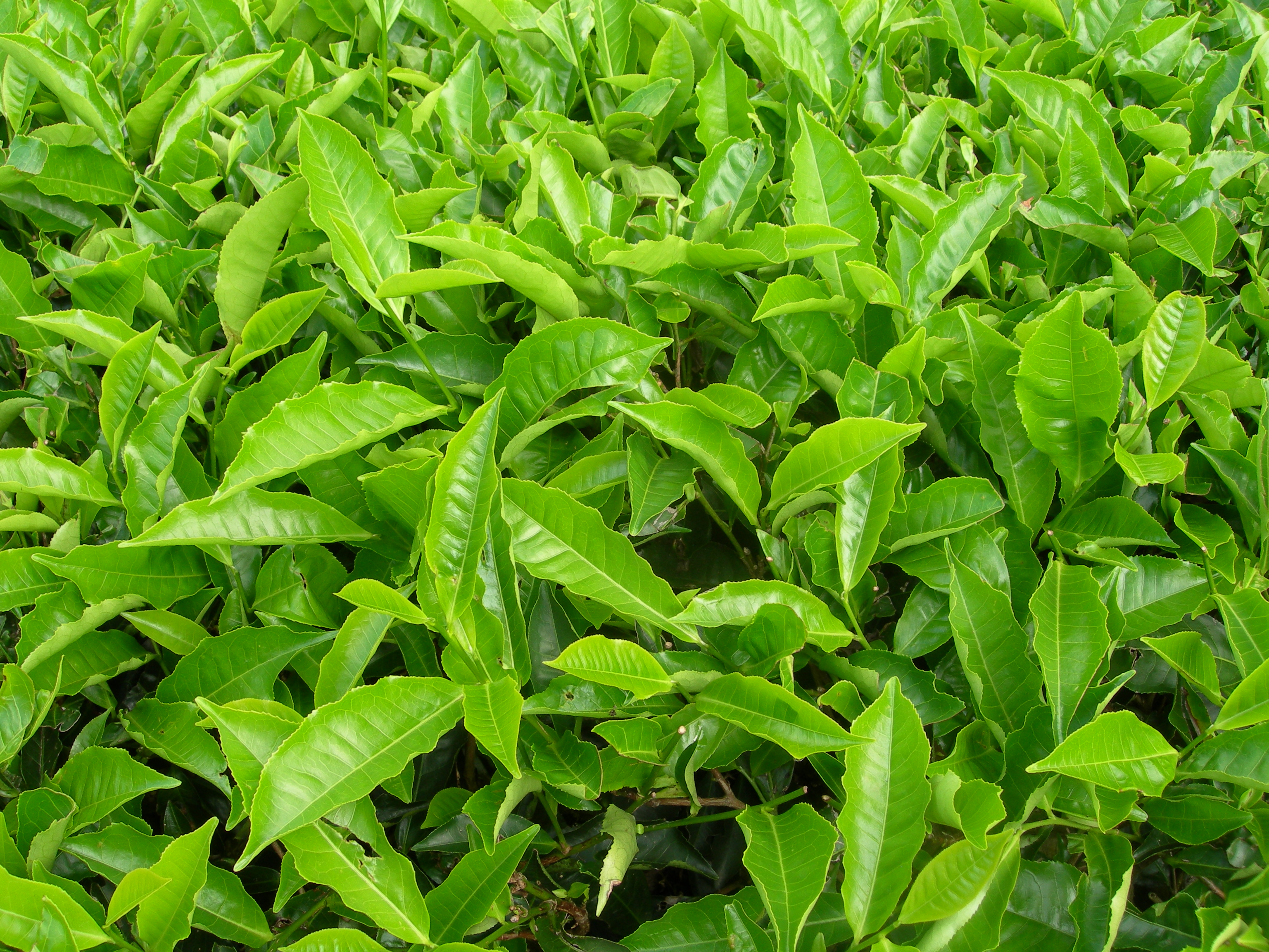 Description tea plants