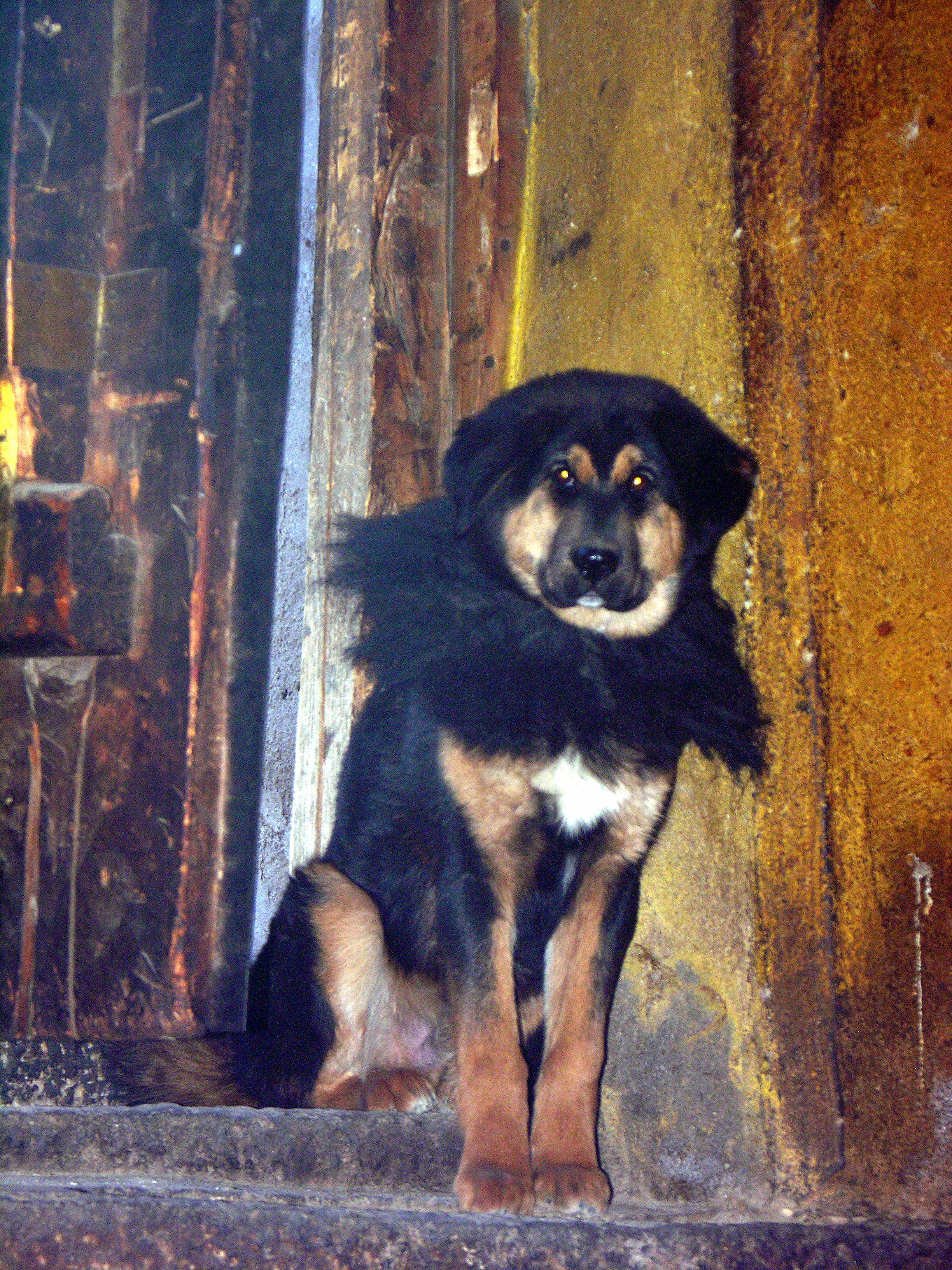 File:Tibetan Mastiff (2642055070) jpg - Wikimedia Commons