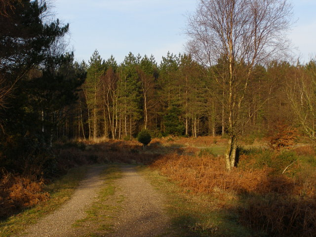 Track in Puddletown Forest - geograph.org.uk - 645529