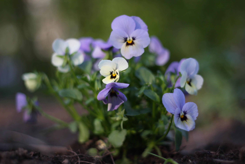 List of viola species wiki everipedia for Viola cornuta inverno