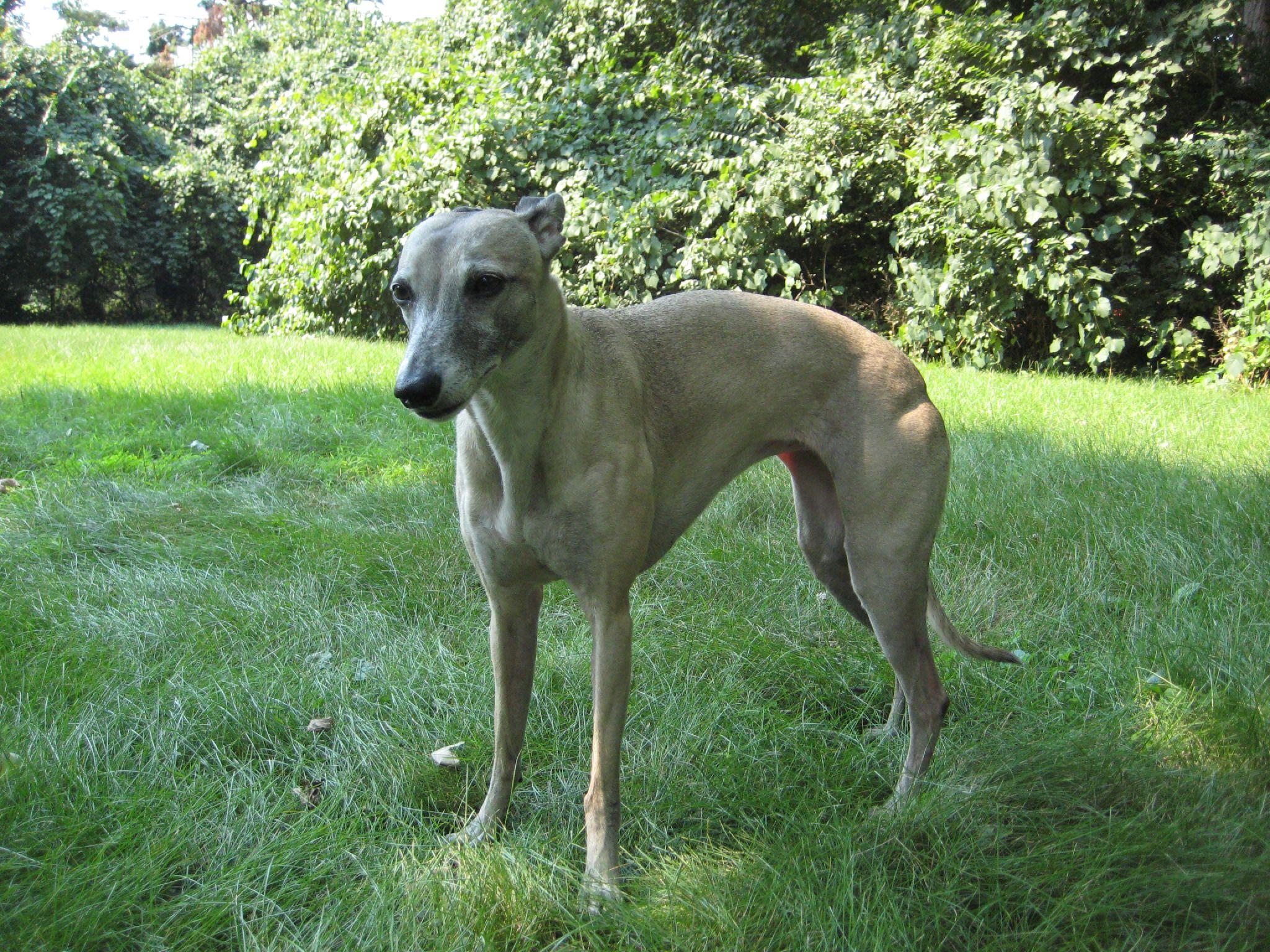 Dosiero:Whippet dog - front.jpg - Vikipedio