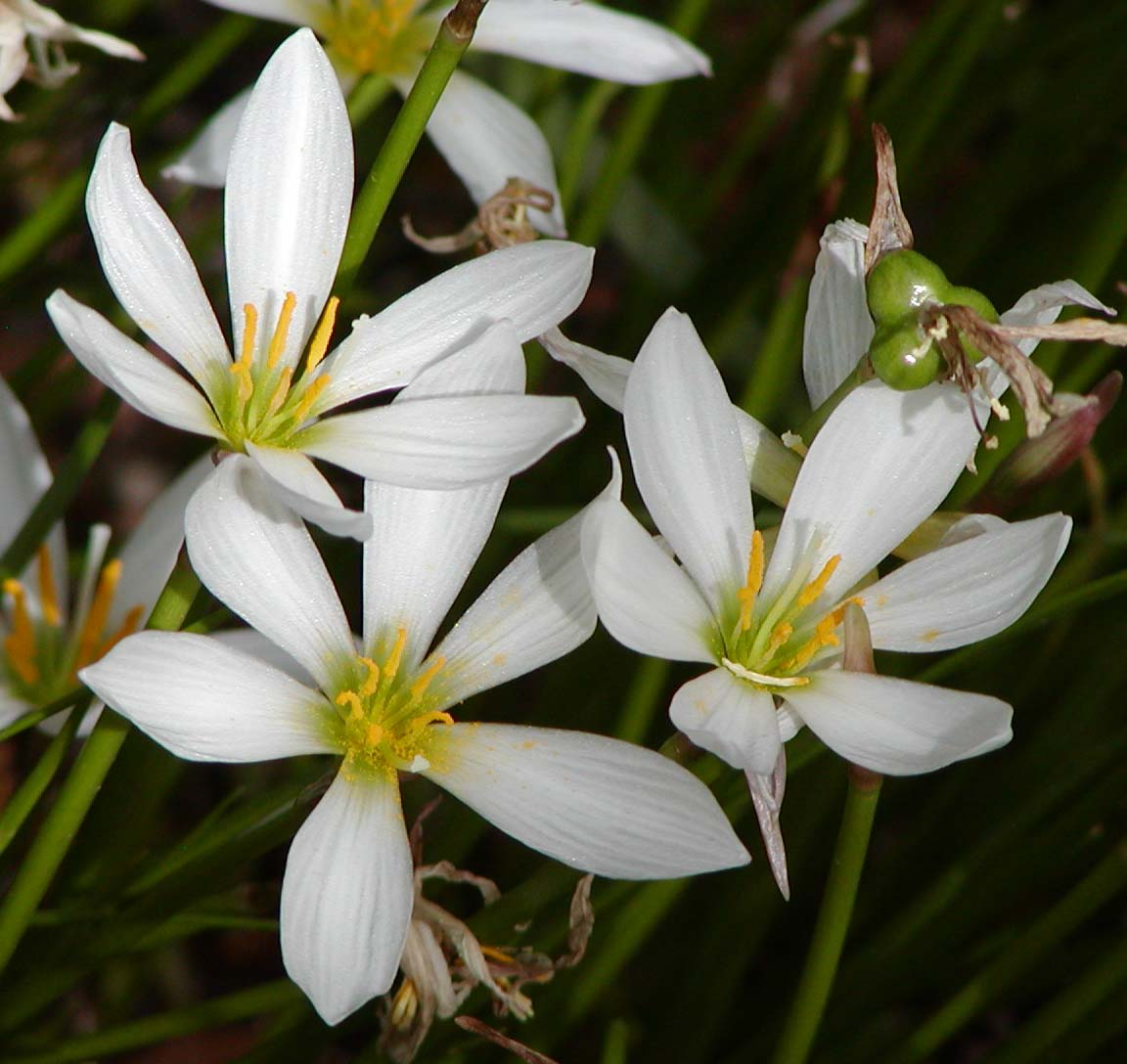 Zephyranthes Wikipedia