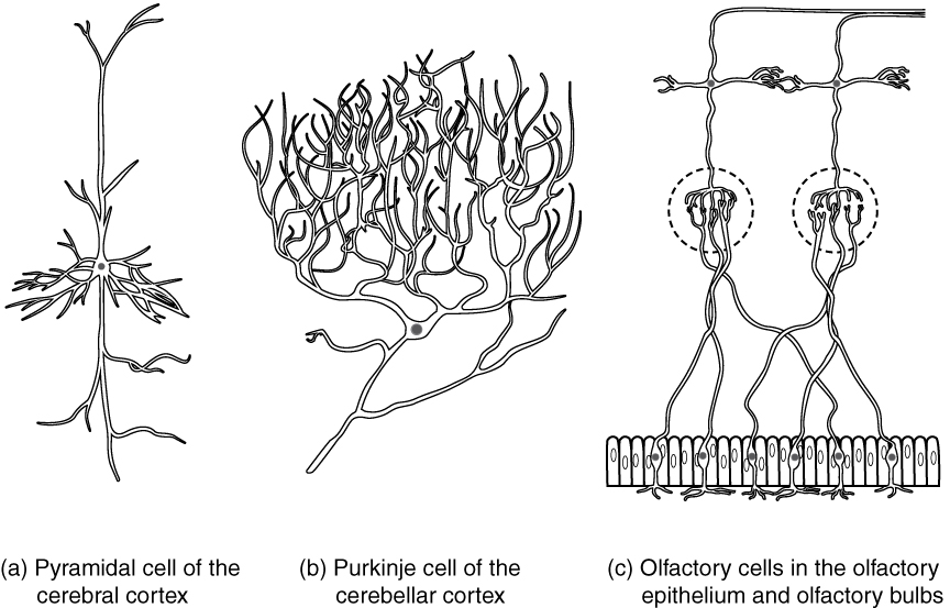 File1208 other types of neuronsg wikimedia commons file1208 other types of neuronsg ccuart Images