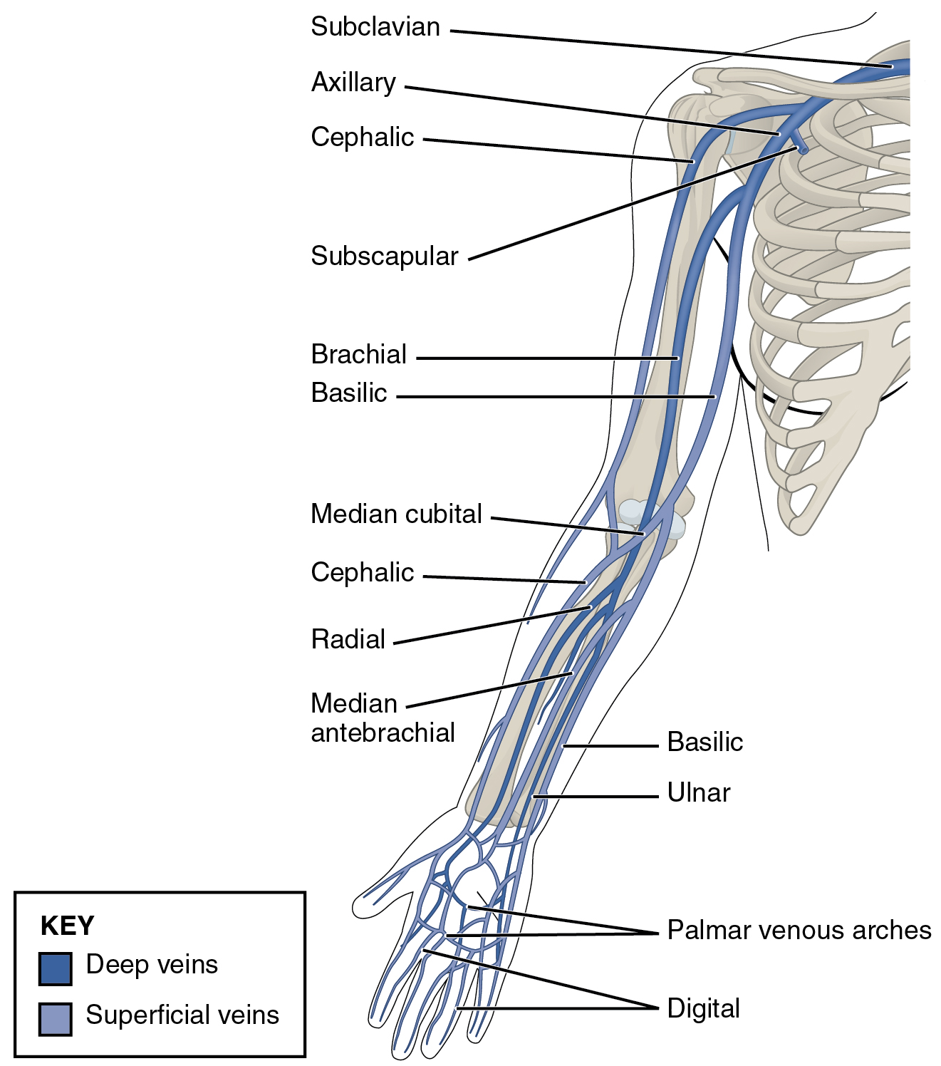 File2134 Thoracic Upper Limb Veinsg Wikimedia Commons