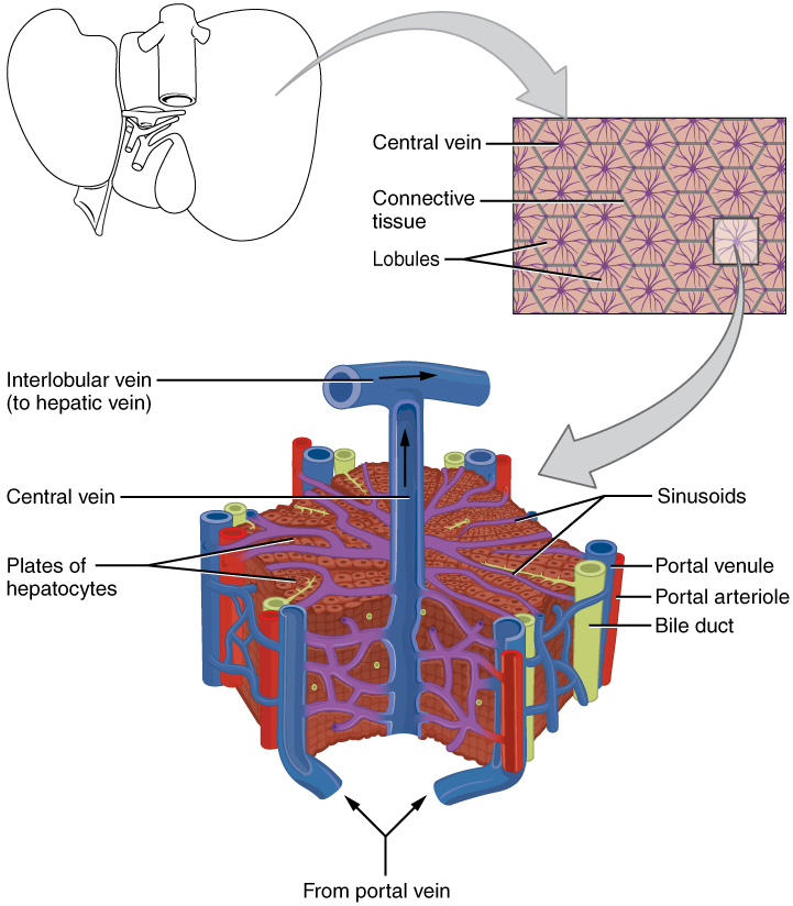 Lobules Of Liver Wikipedia