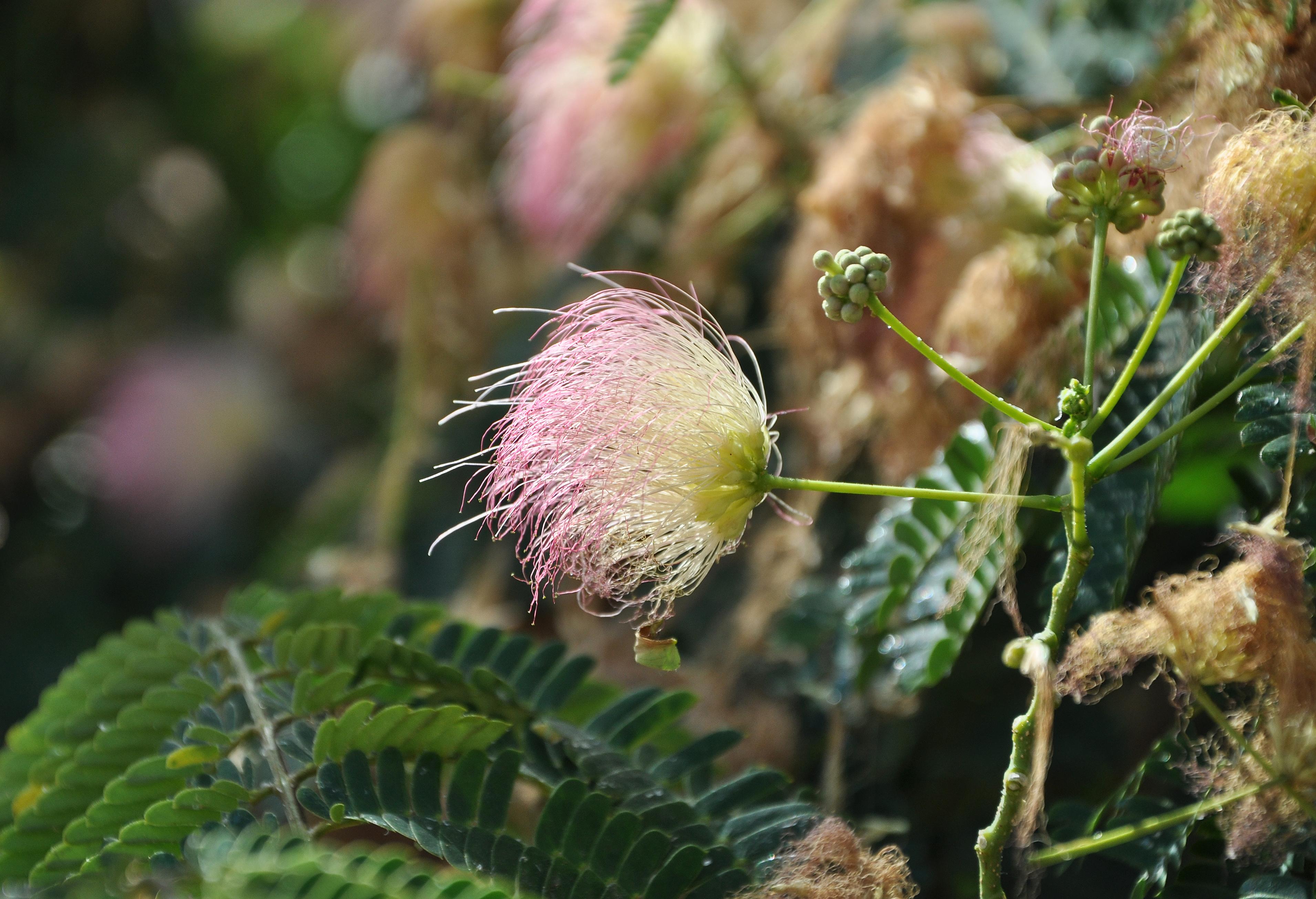 Filea Silk Tree Albizia Julibrissin In Corsica 1431g