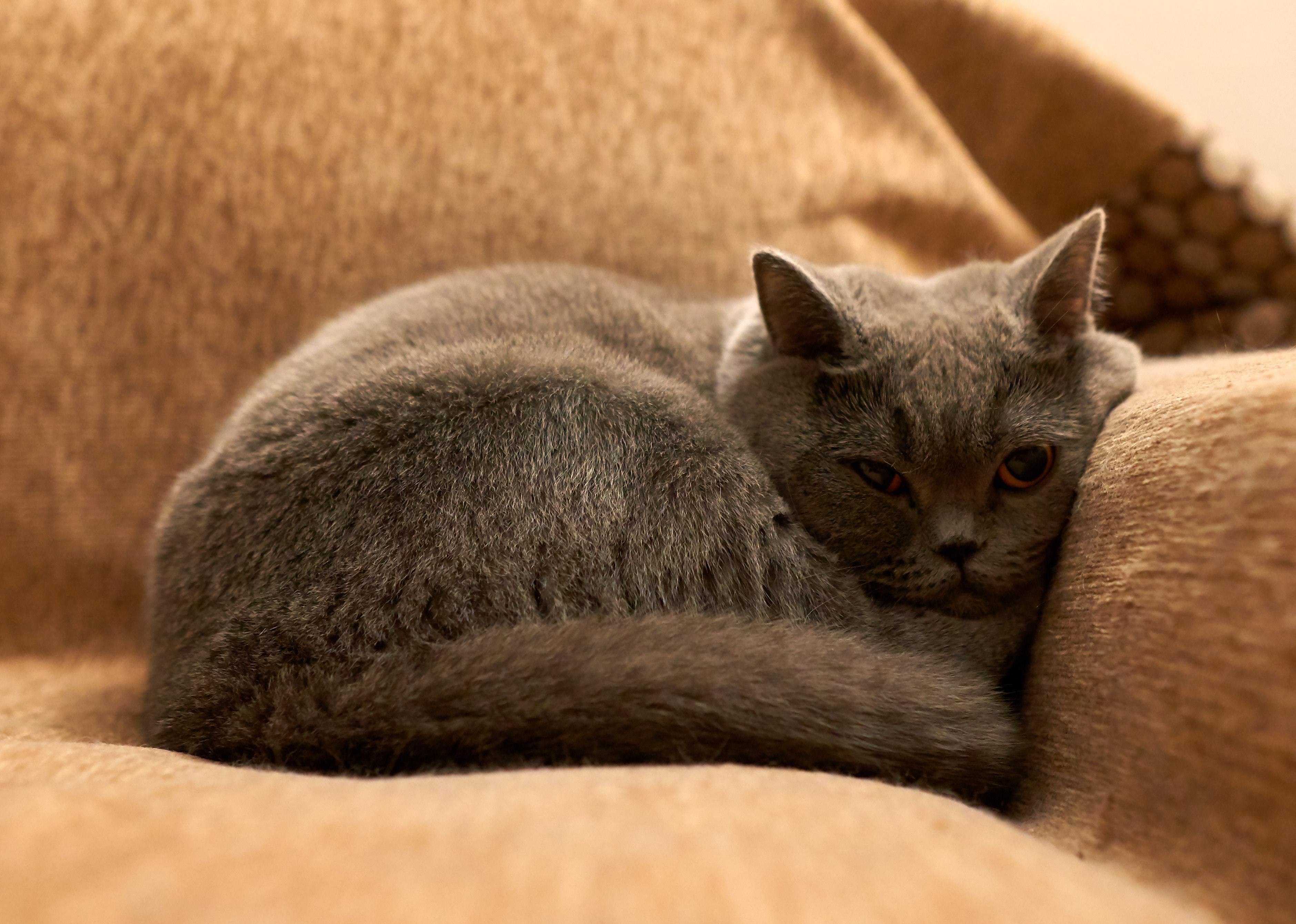 File A Female British Shorthair Cat On
