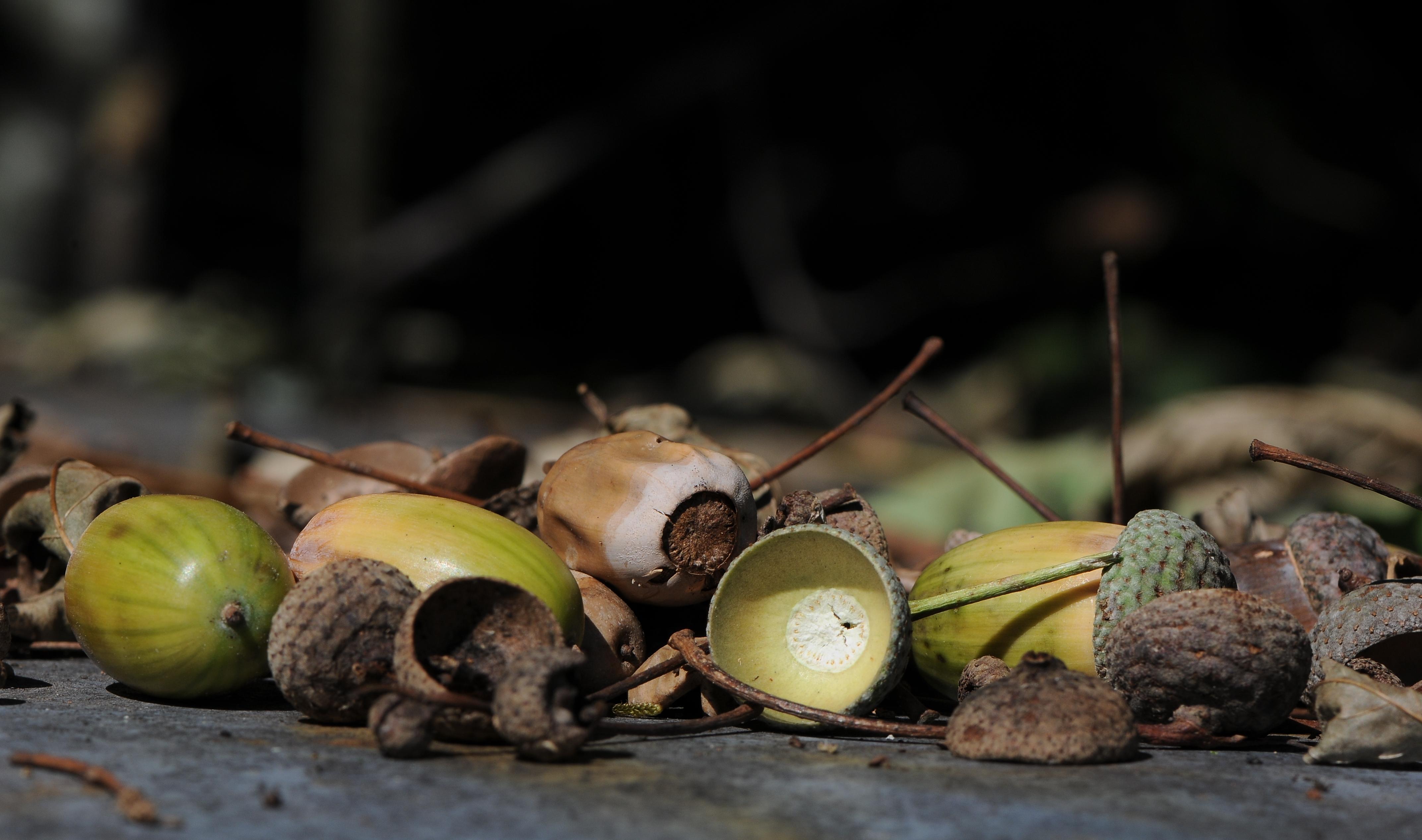 File:Acorns of Quercus robur, Eichel der Stieleiche 03.JPG