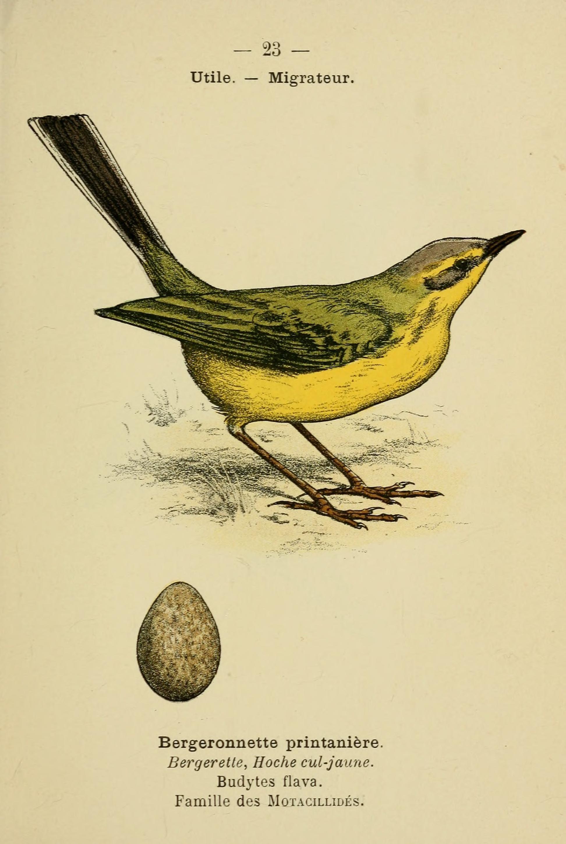 File atlas de poche des oiseaux de france suisse et for Oiseaux de france