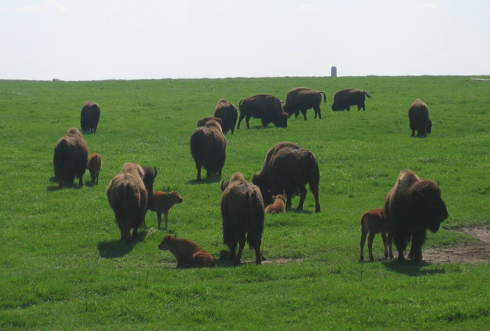 http://upload.wikimedia.org/wikipedia/commons/b/b7/Bison_at_Blue_Mounds_State_Park.jpg