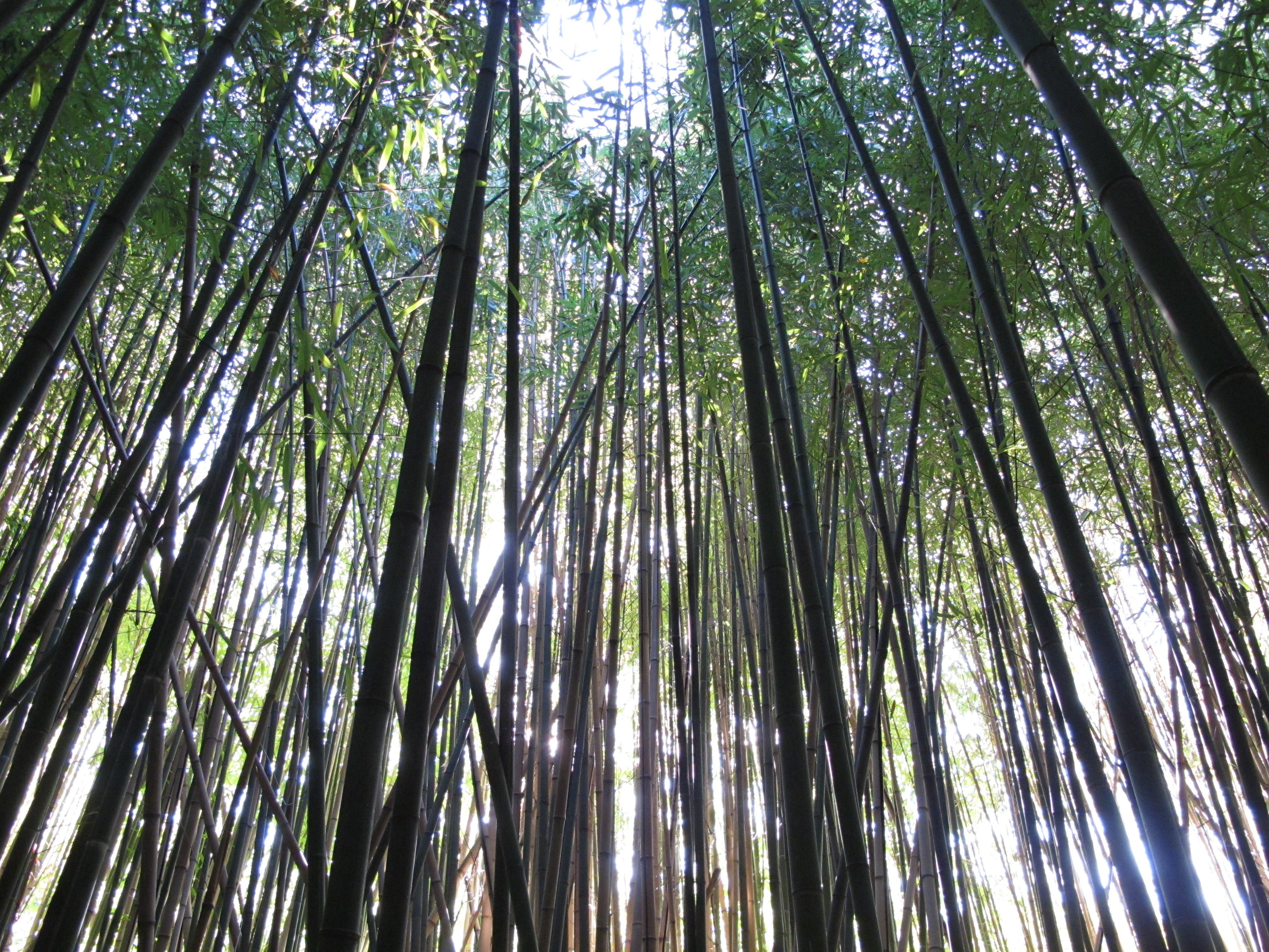 Bosco Di Bamb.File Bosco Di Bambu Jpg Wikimedia Commons