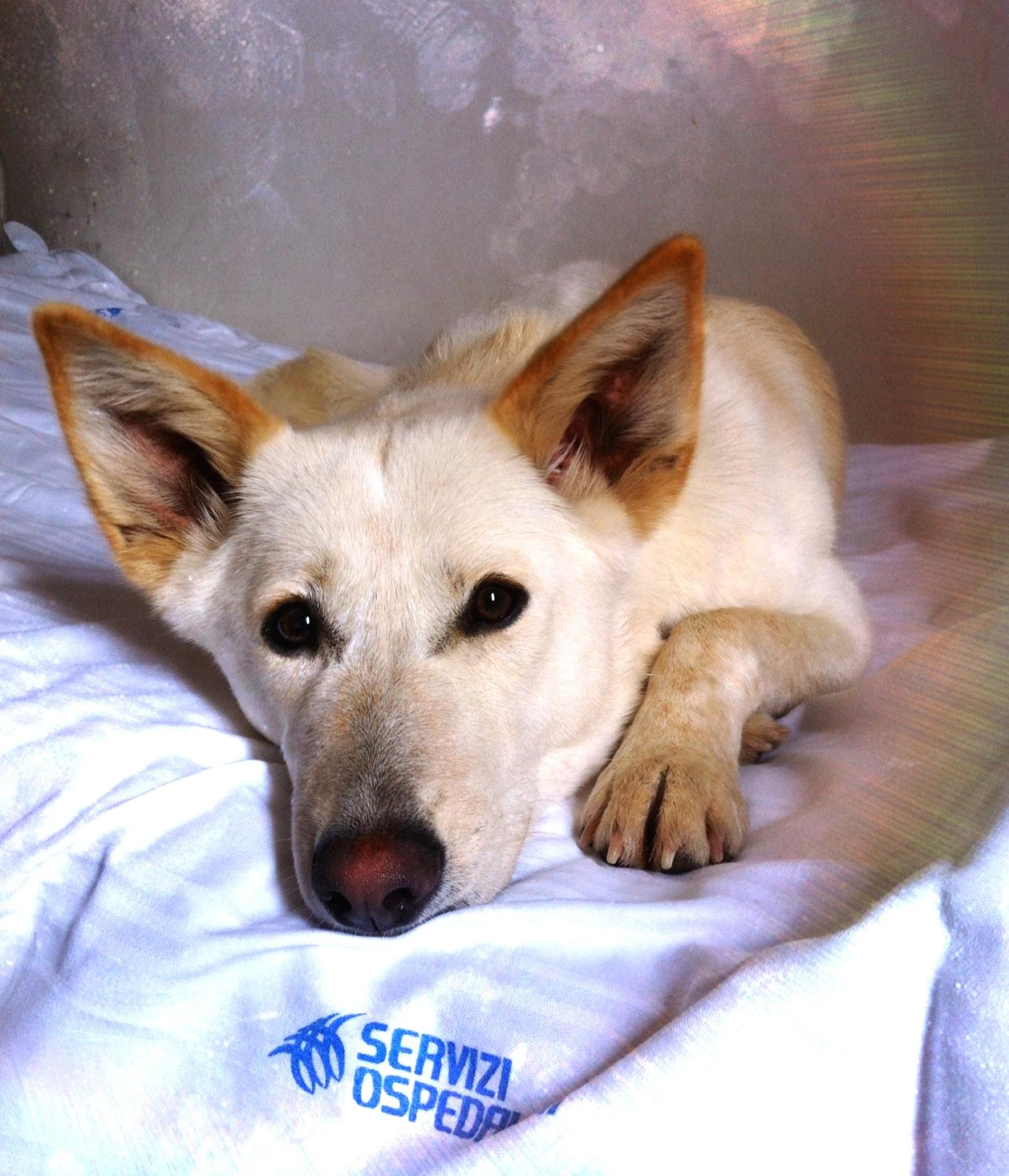 File:Canaan Dog (una femmina di un anno).jpg - Wikimedia ...