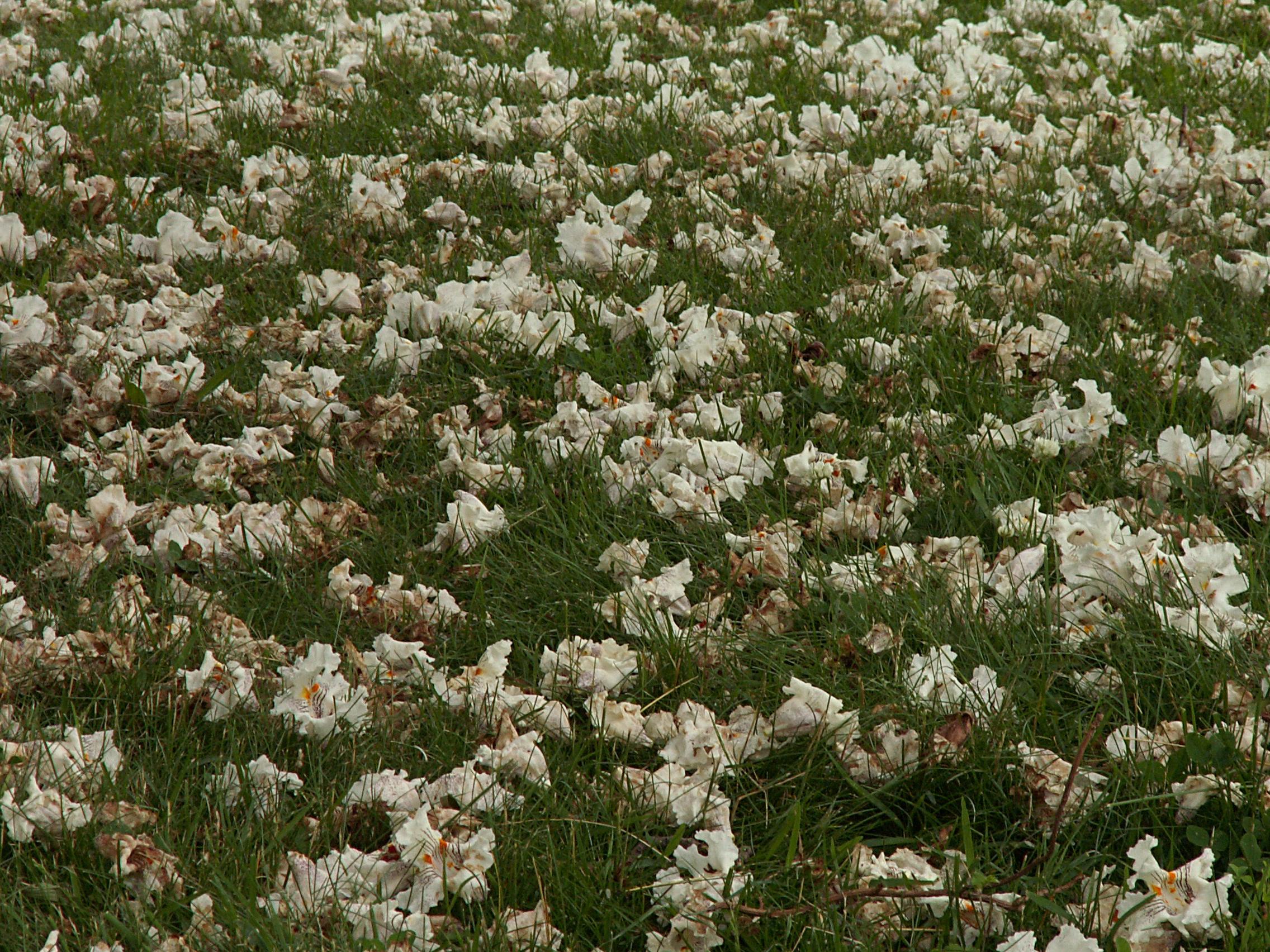 Filecatalpa Speciosa Dropped Flowers 2015 06 02 Homewood