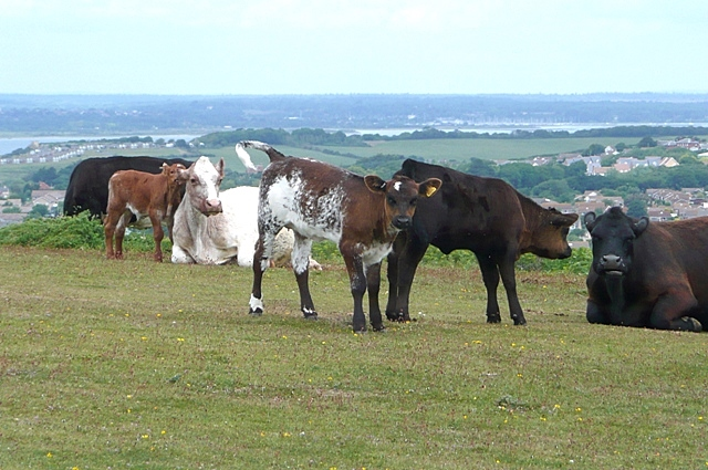 Cattle on Tennyson Down - geograph.org.uk - 1377824