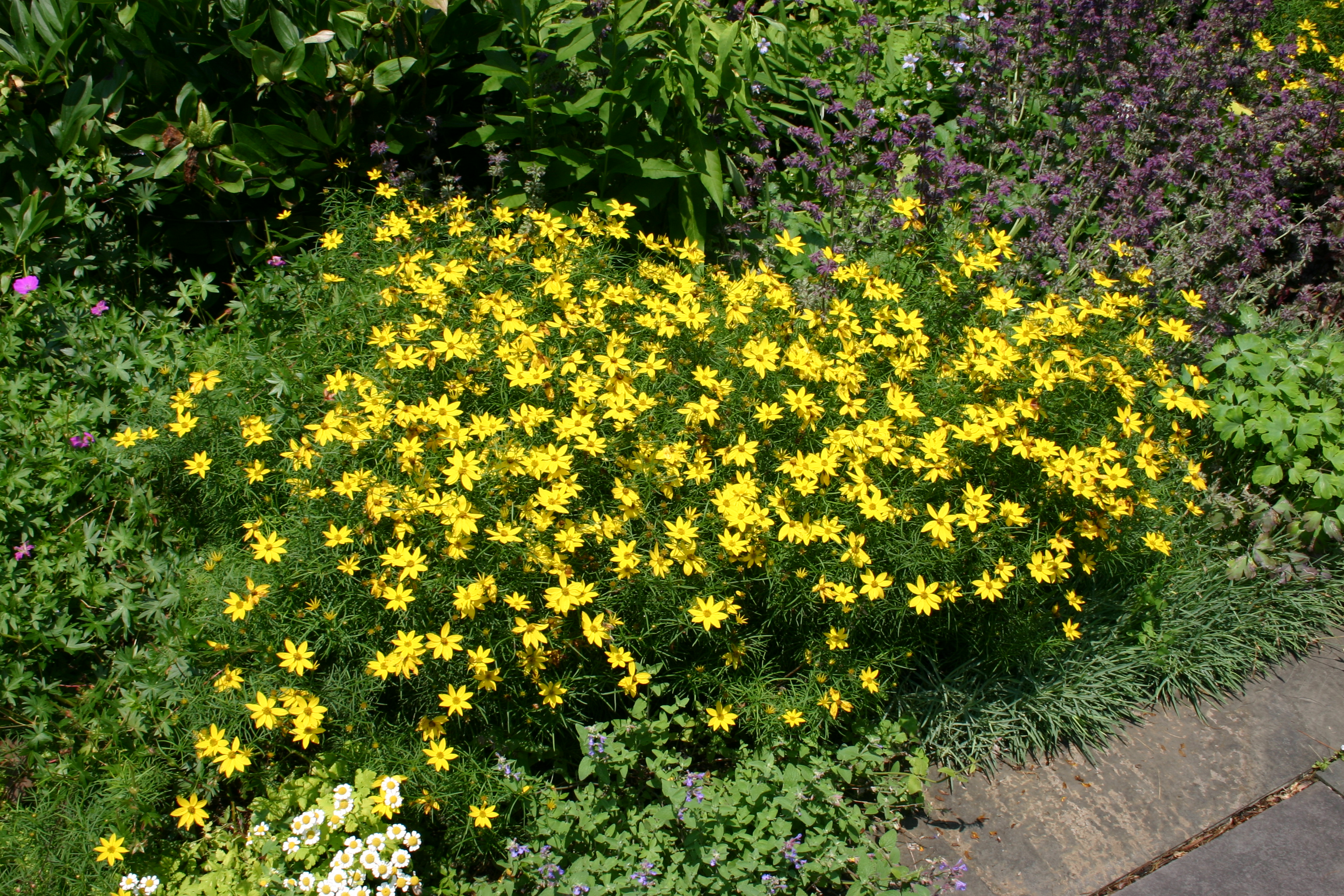 vertici pic source - Threadleaf Coreopsis