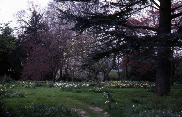 Daffodils at Beningborough - geograph.org.uk - 312934