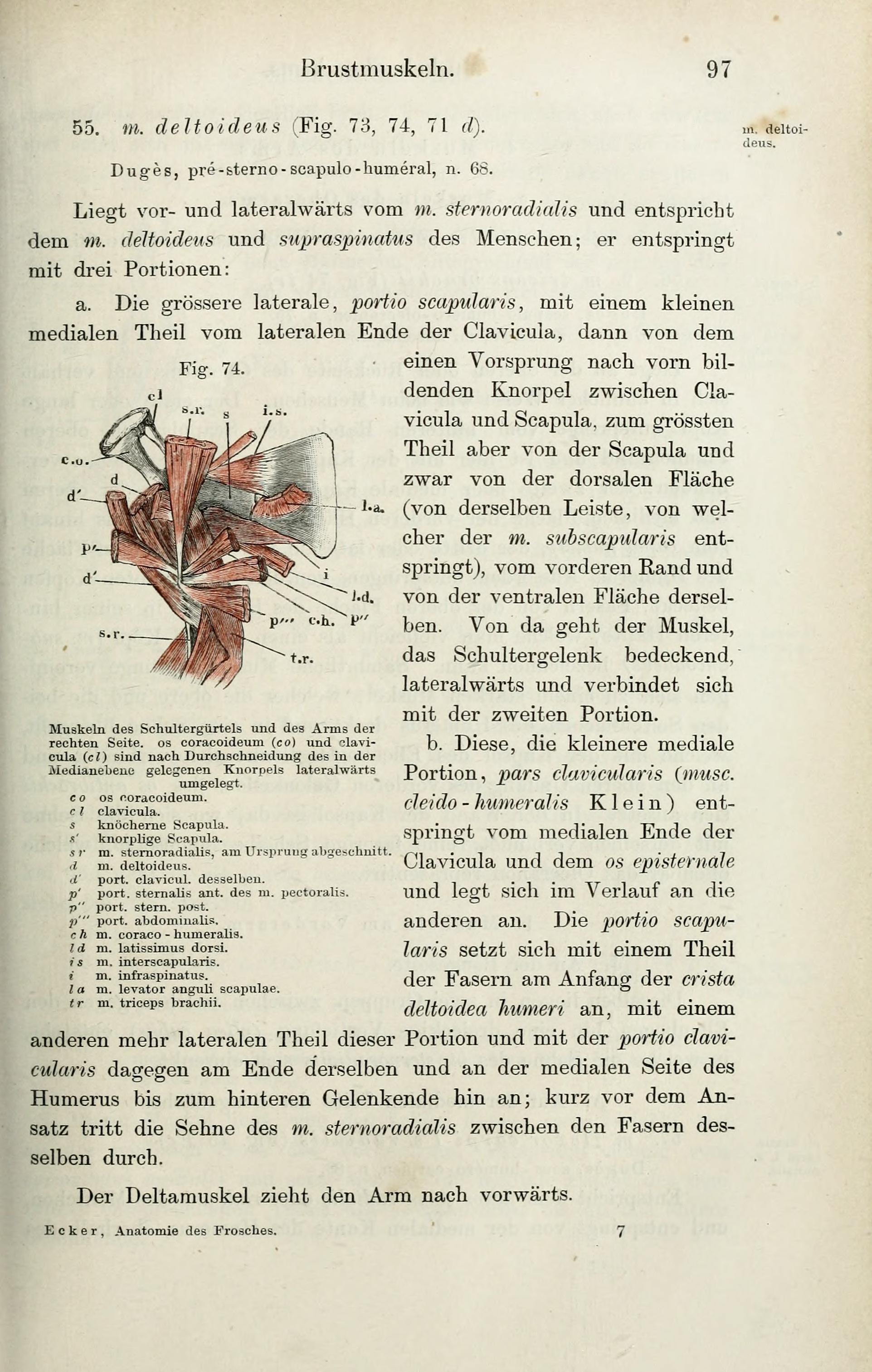Wunderbar Anatomie Der Brustmuskeln Fotos - Menschliche Anatomie ...