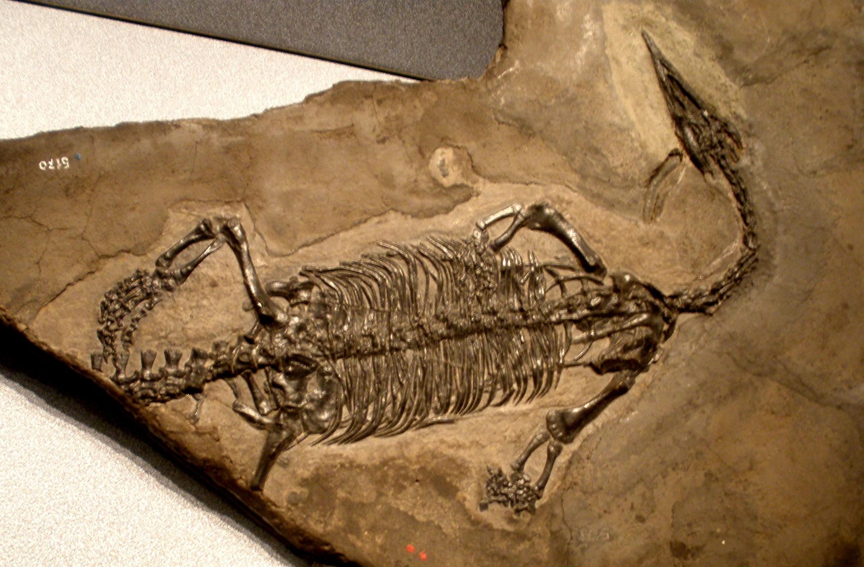 Endennasaurus acutirostris, a thalattosaur