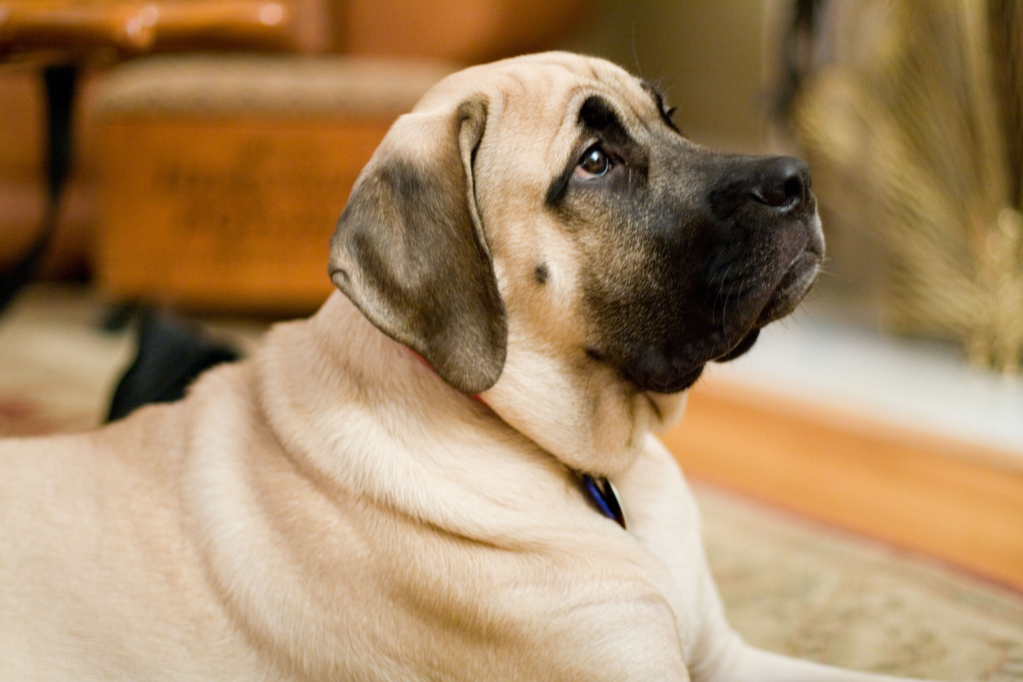 Image result for Mastiff