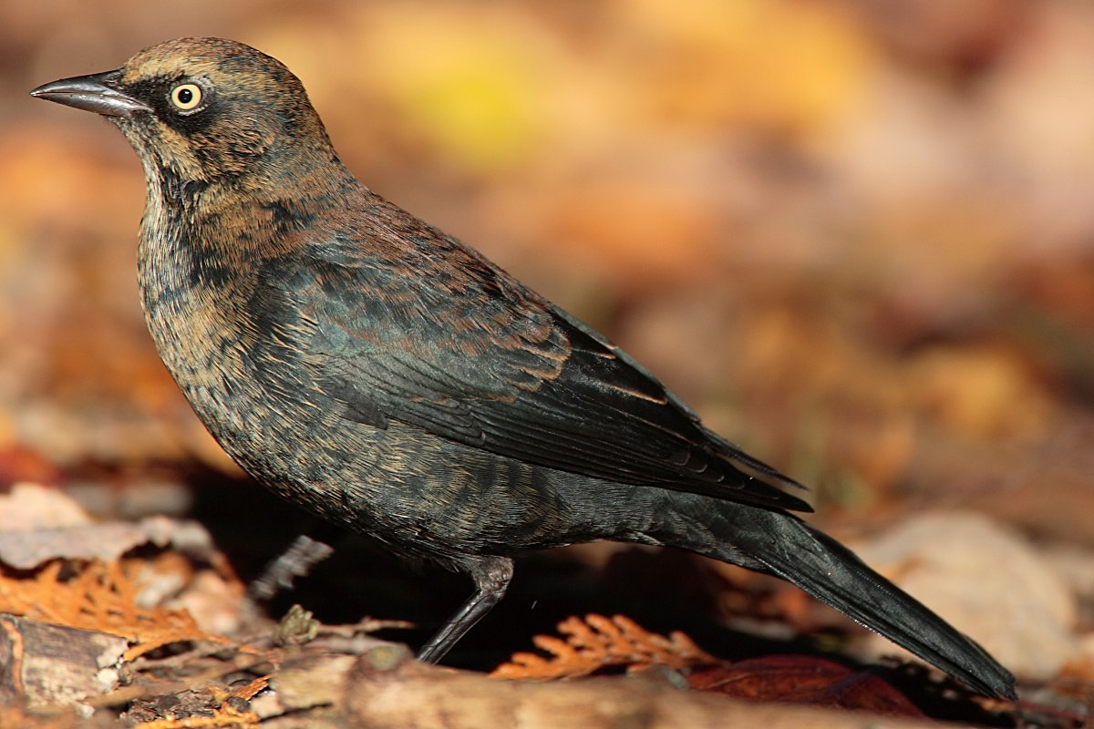 Rusty Blackbird, Wikipedia