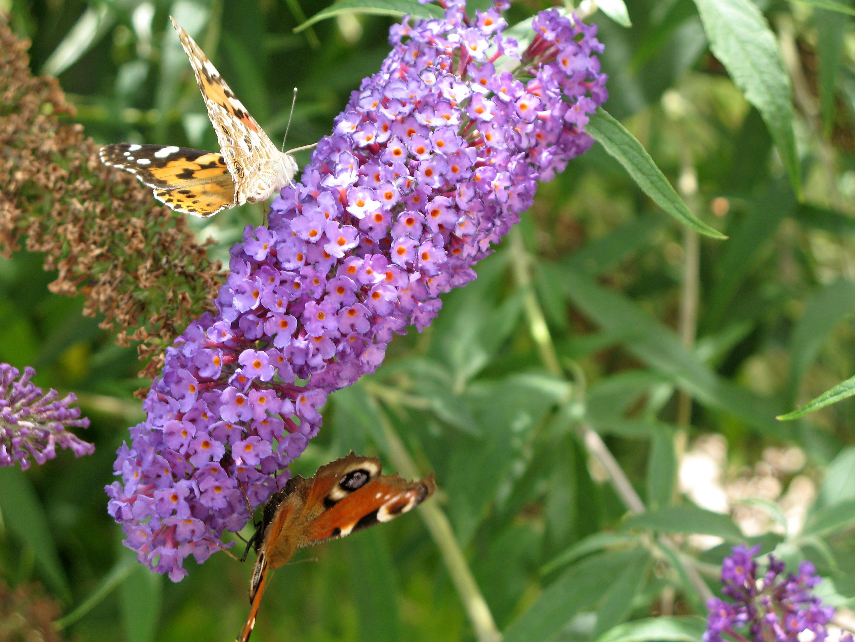 File:Fleur de Buddleia et papillons.jpg