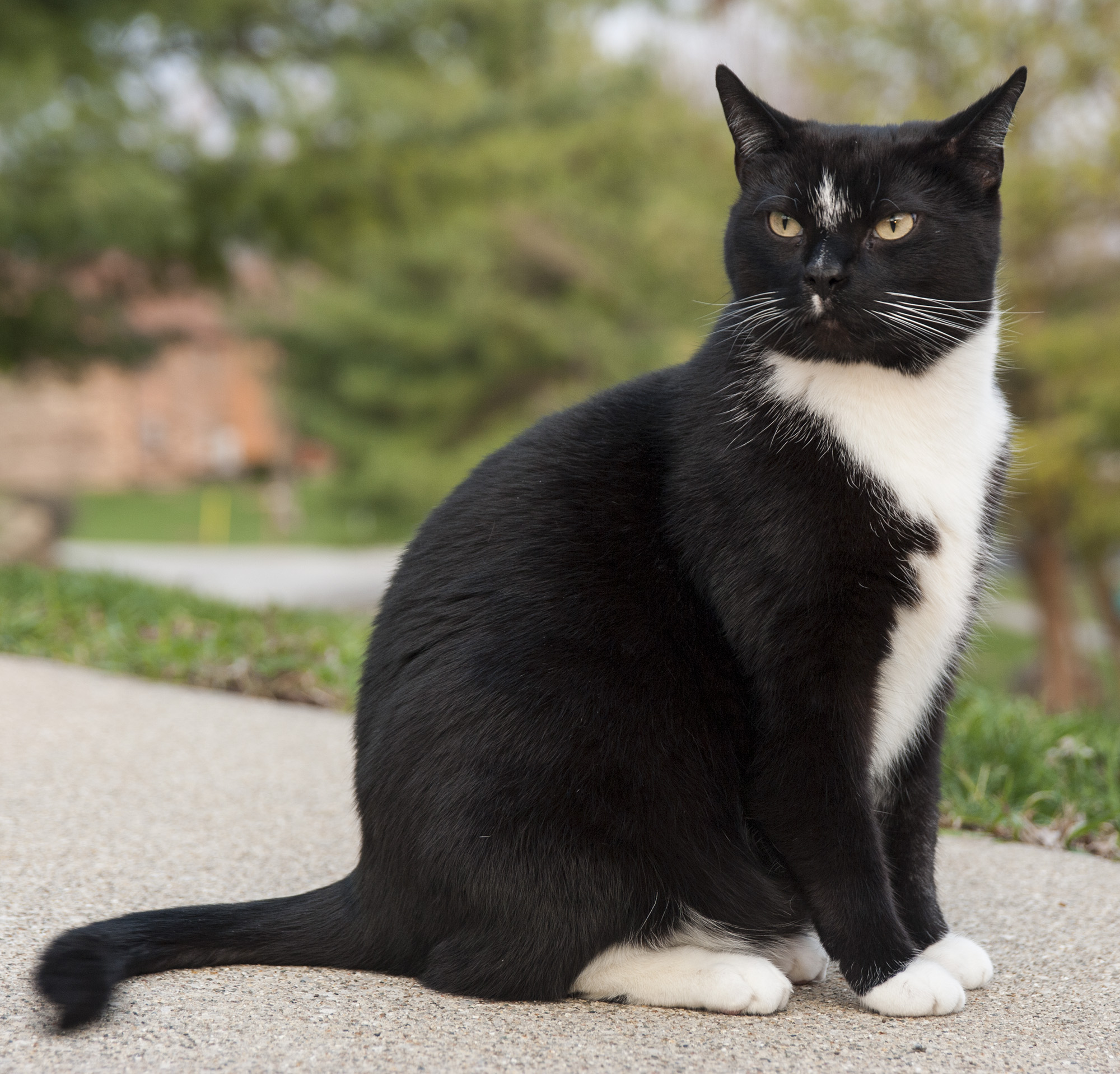 Color of cats fur - A Tuxedo Cat
