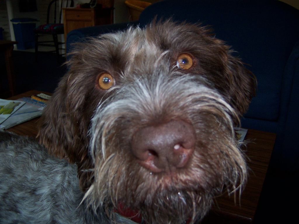 German Wirehaired Pointer Chocolate Lab Mix