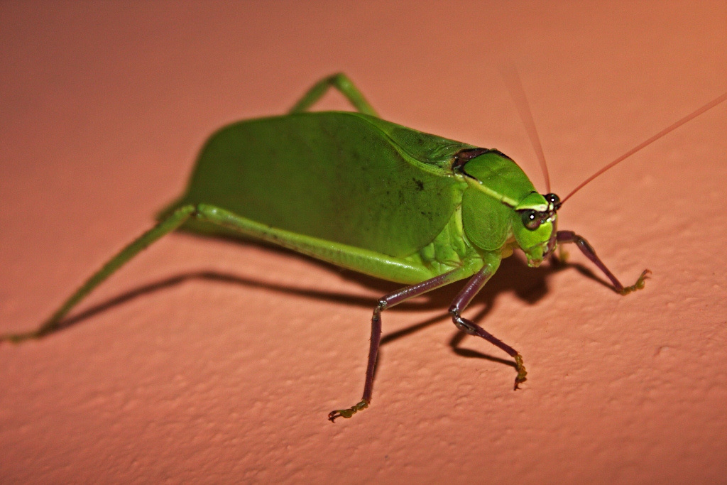 File:Giant Katydid (Stilpnochlora couloniana) (8575064304 ...
