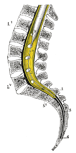 Filum Terminale Wikipedia The filum terminale helps to anchor the spinal cord in place. filum terminale wikipedia