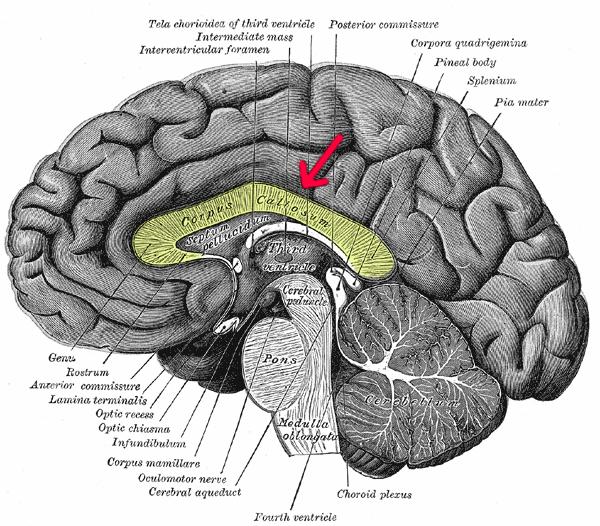 Gray 720-emphasizing-corpus-callosum