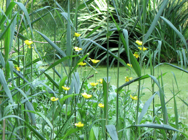 Great Spearwort, Woodland Pond, Ashridge - geograph.org.uk - 1377874