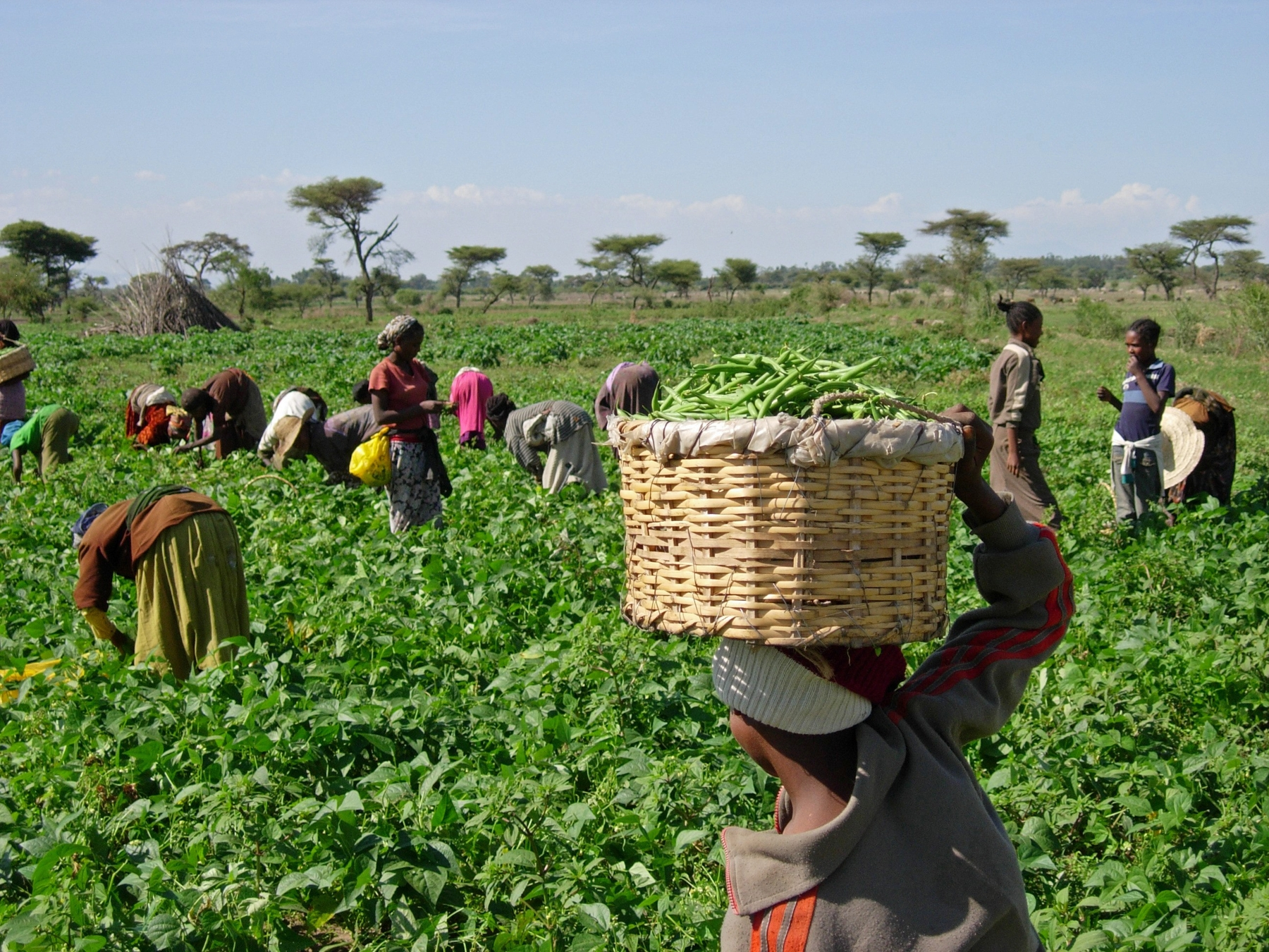 African Crops And Slave Cuisine Of File Harvesting Beans 5762966966 Jpg Wikimedia Commons