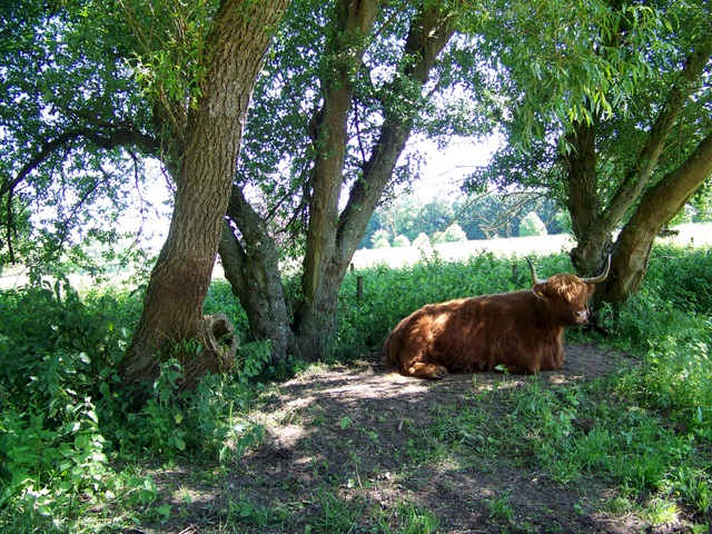 Highland cow, Avington Country Park - geograph.org.uk - 1328249
