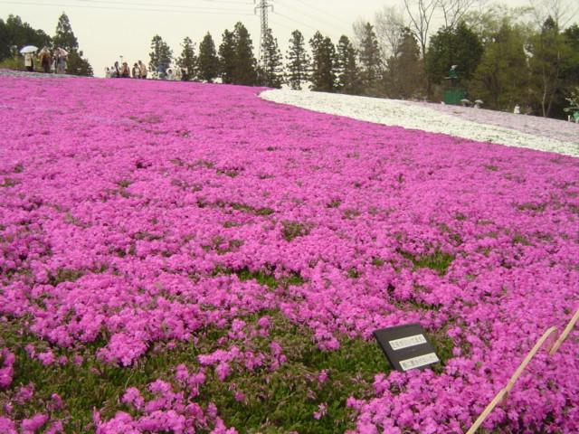 File:Hitsujiyama-park Phlox subulata 2005-2.jpg