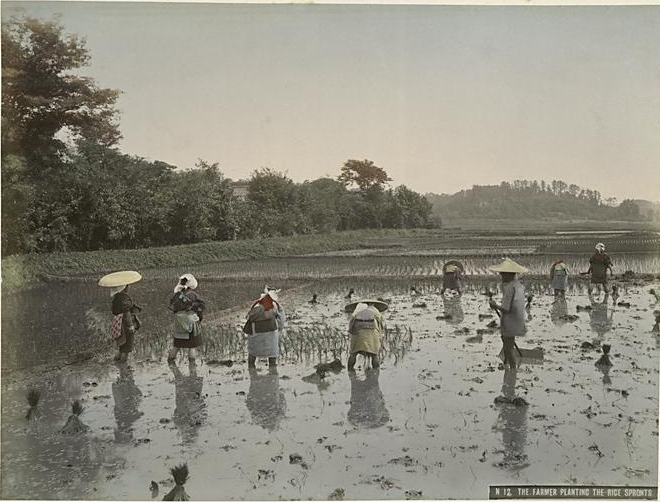 Agriculture Rice Planting Rice Planting in 1890s